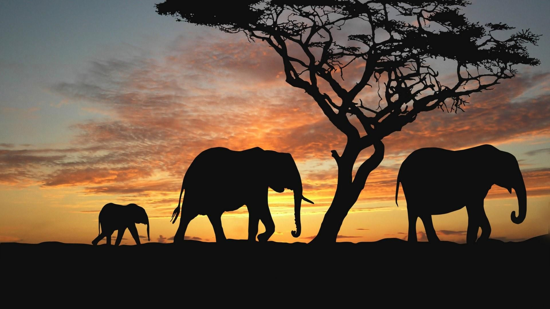 The Picture Elephant Safari At Sunset
