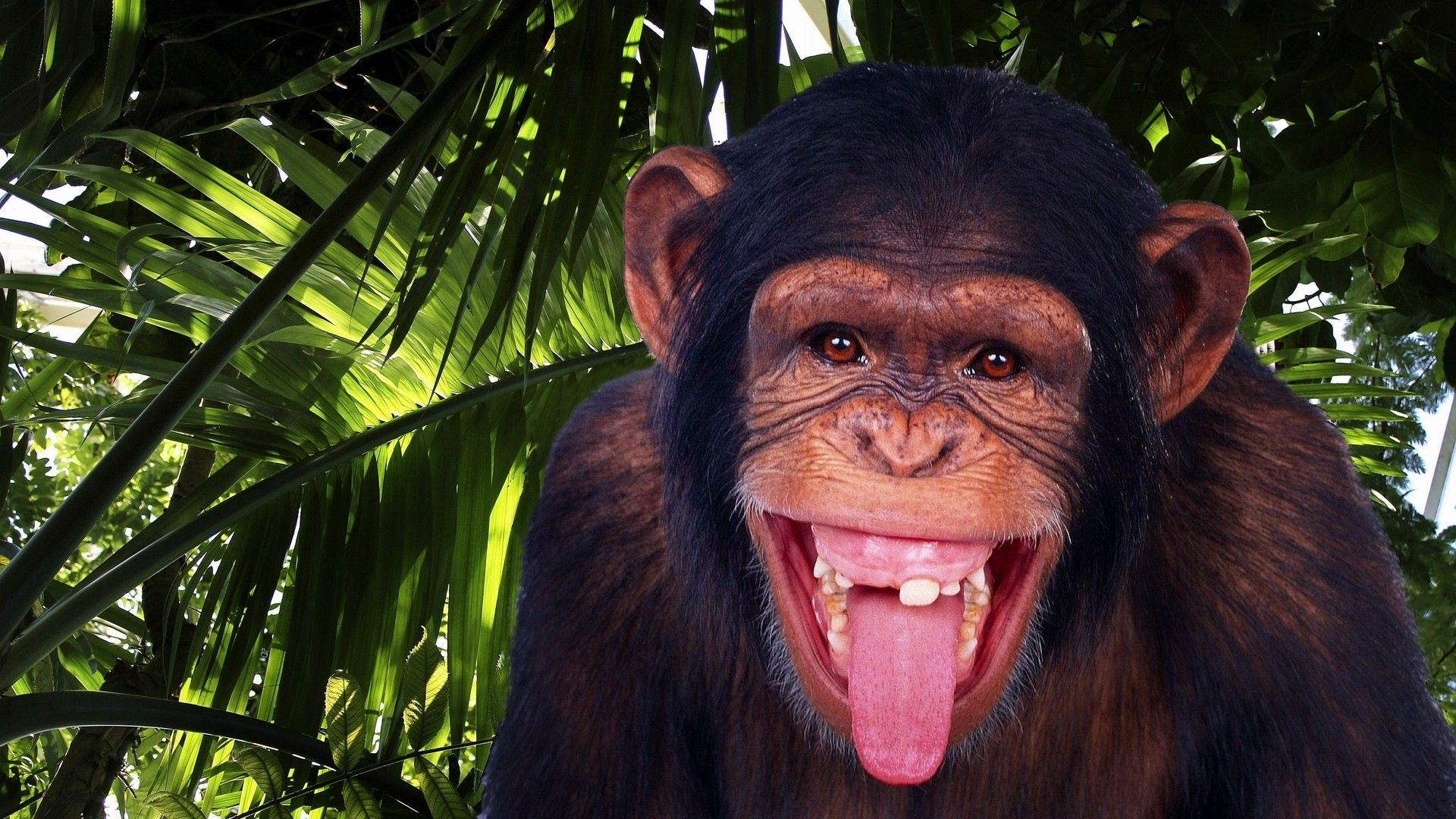 The Picture Is A Monkey With No Teeth