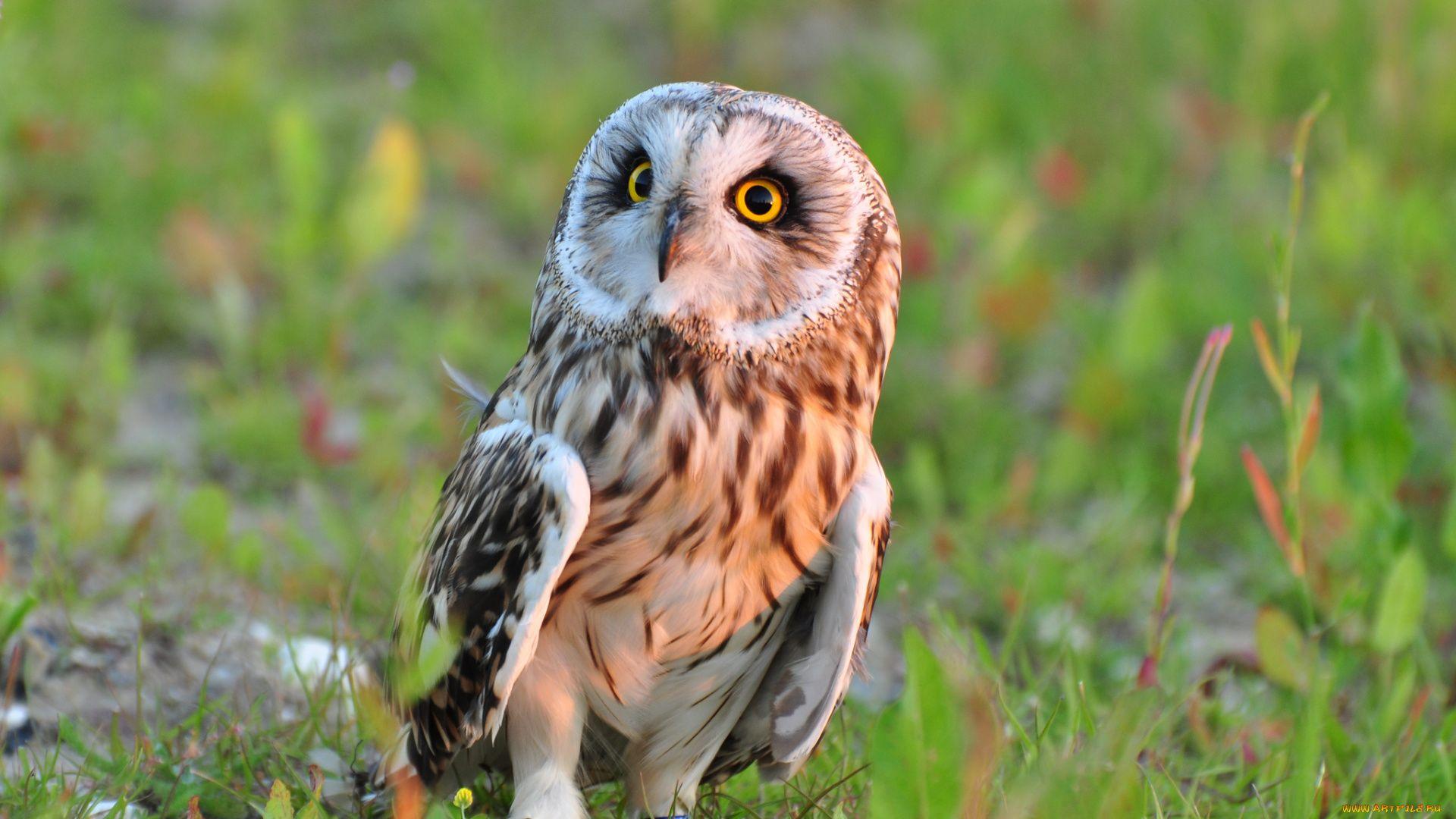 True Owls