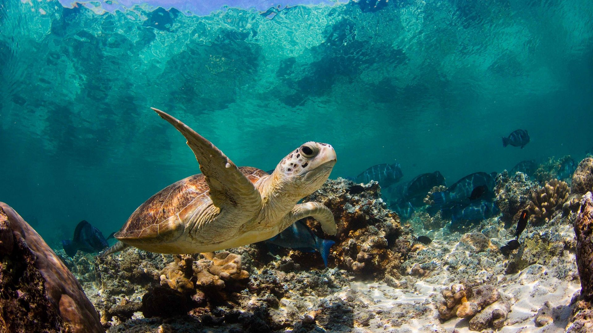 Turtle In Ocean Wallpaper