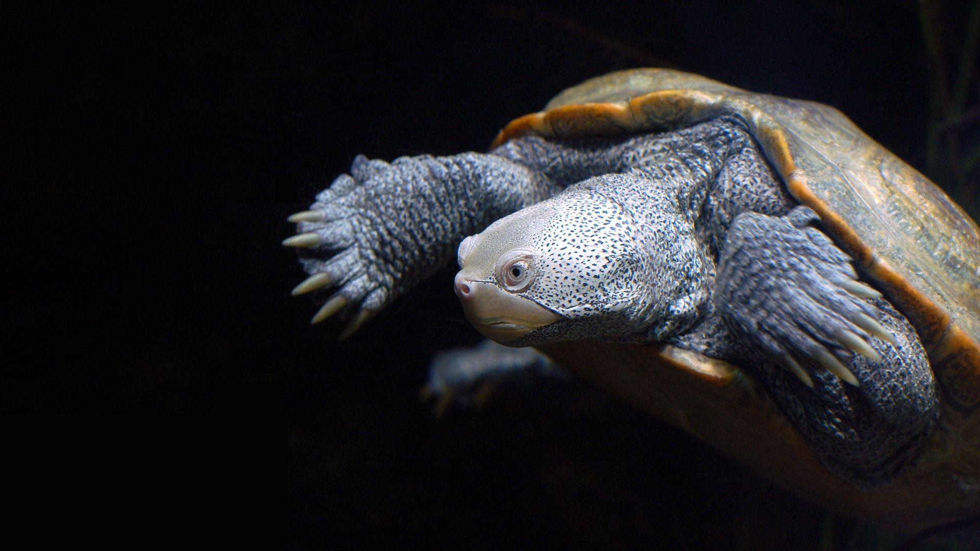Turtle On Black Background