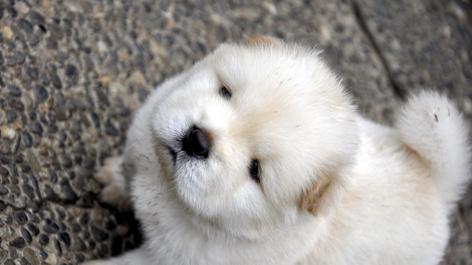 White Chow Chow Pictures