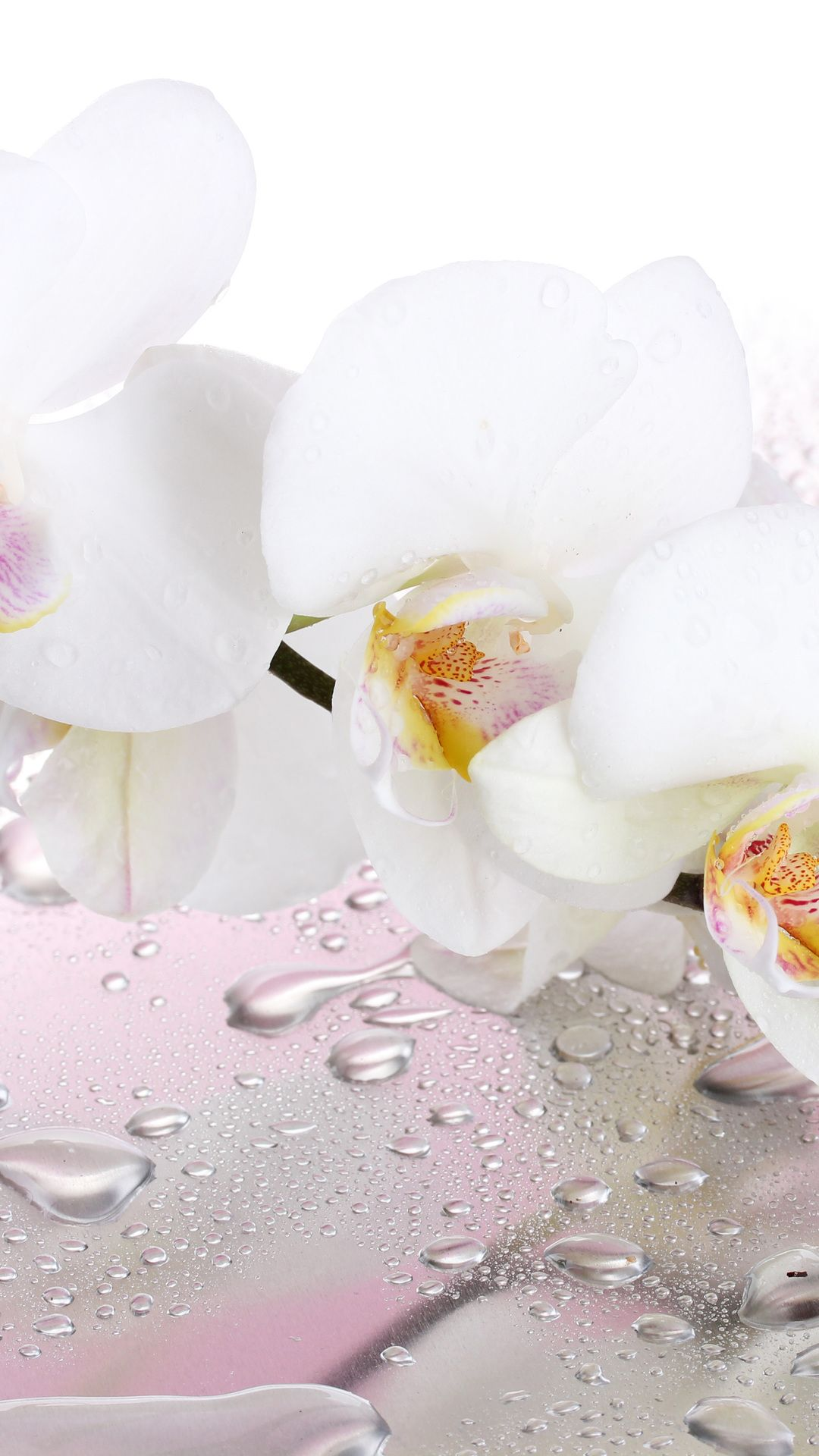 White Orchids Pictures