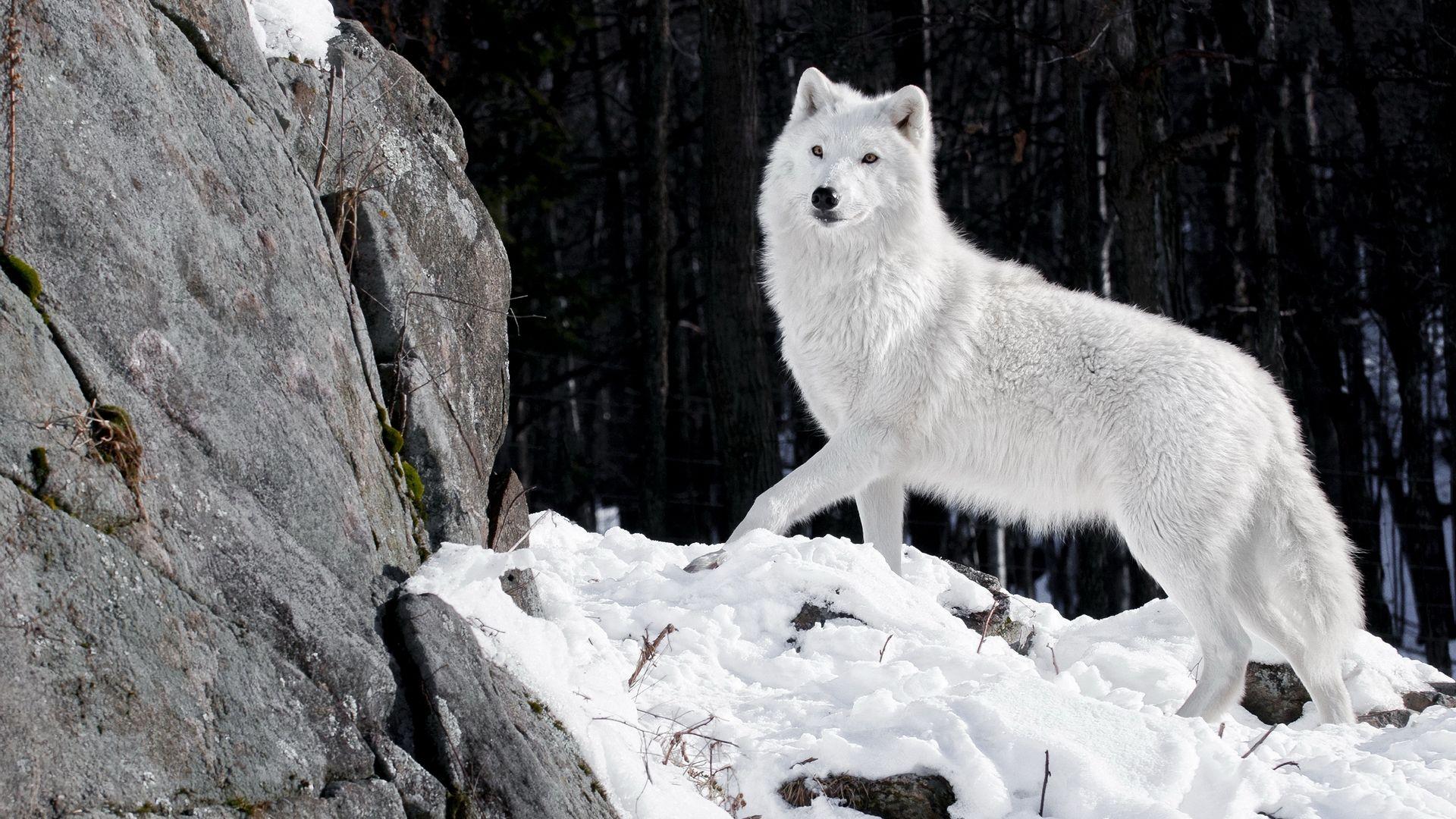 White Polar Wolf