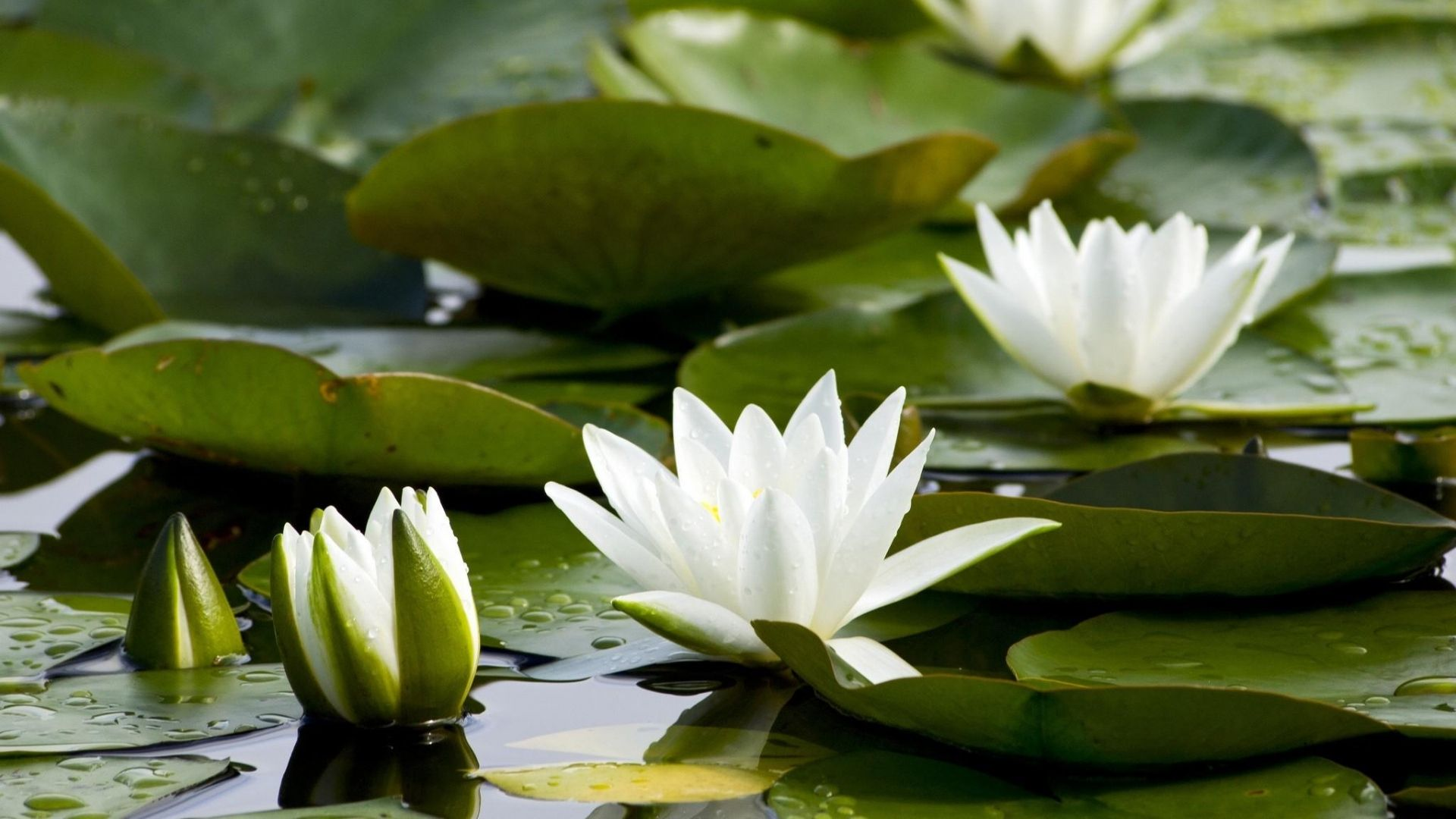 White Water Lily Is A Beautiful Photo