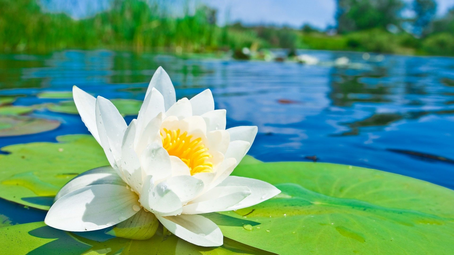White Water Lily Water Lily Photo