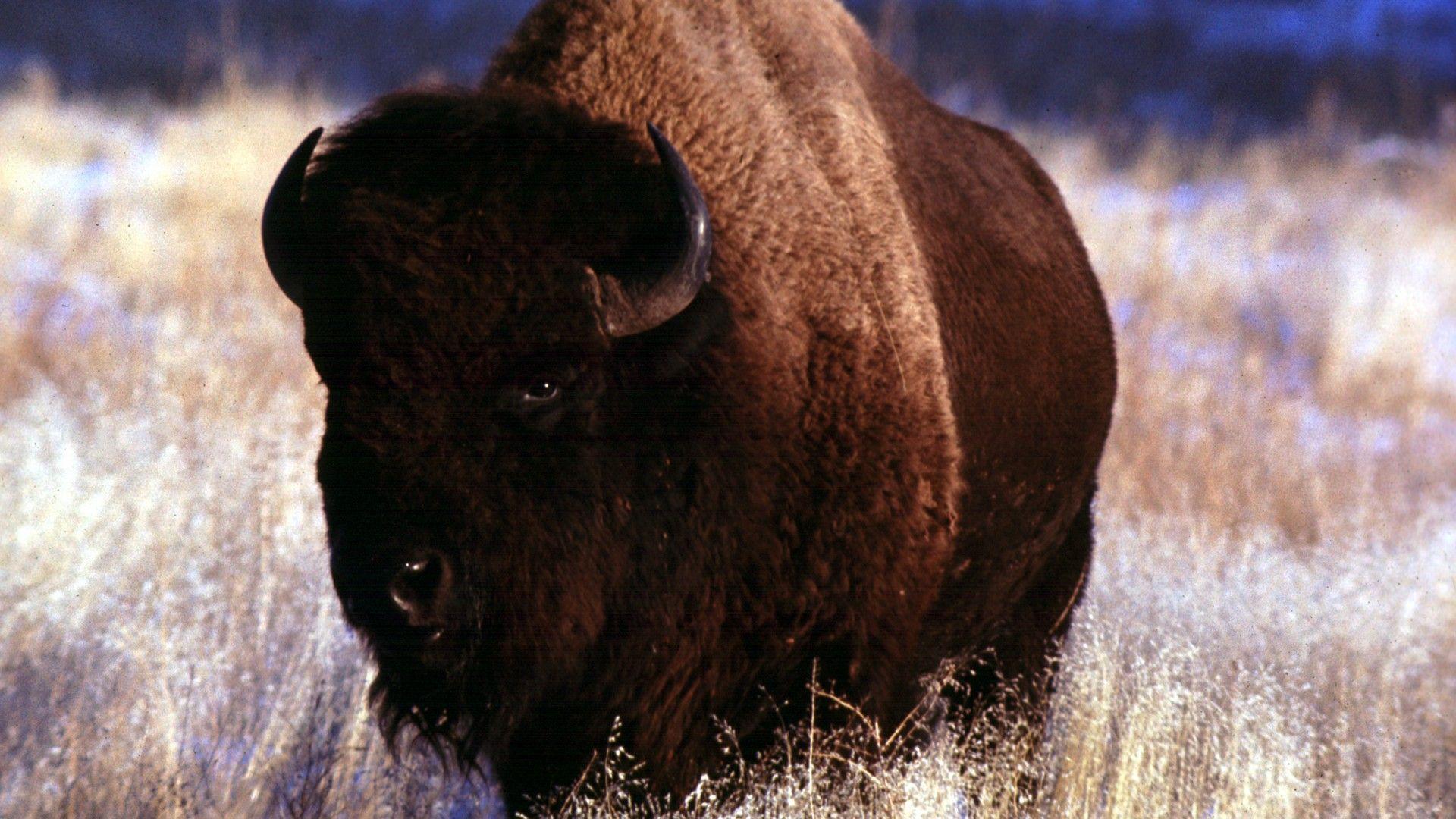 Wild Animals Bison