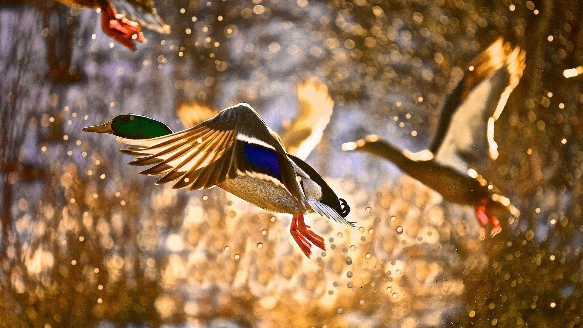 Wild Ducks In Flight