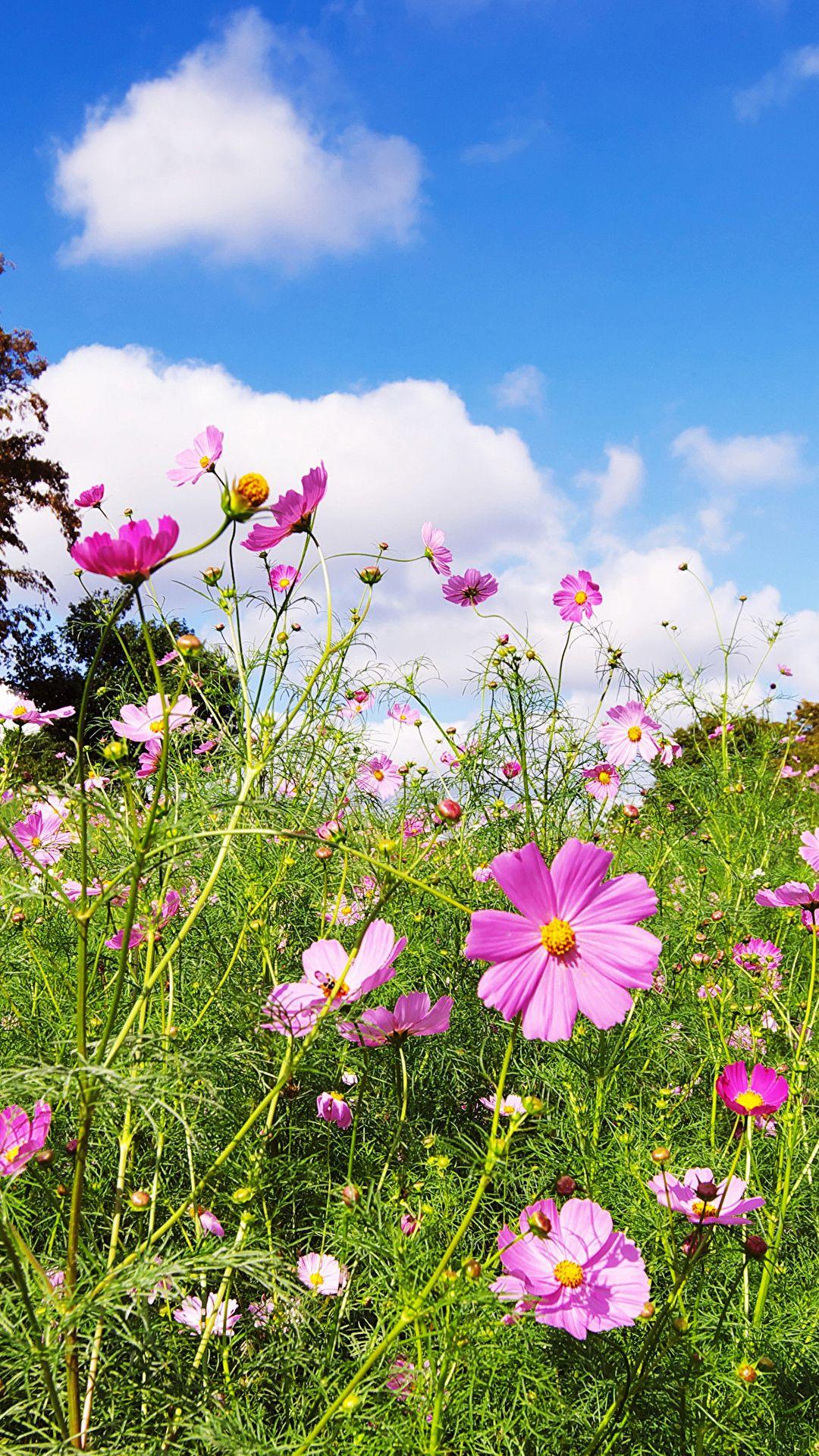Wild Flowers Kosmeya 2