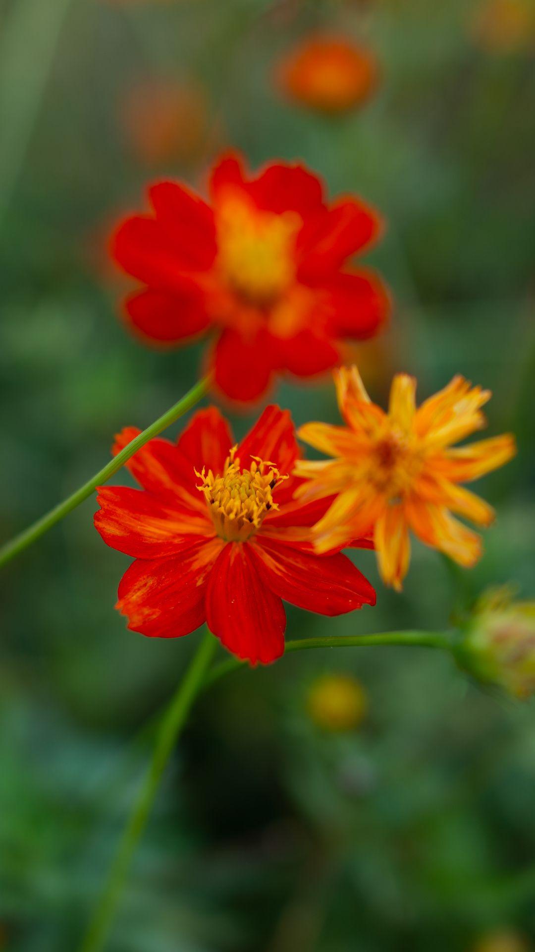 Wild Flowers Kosmeya