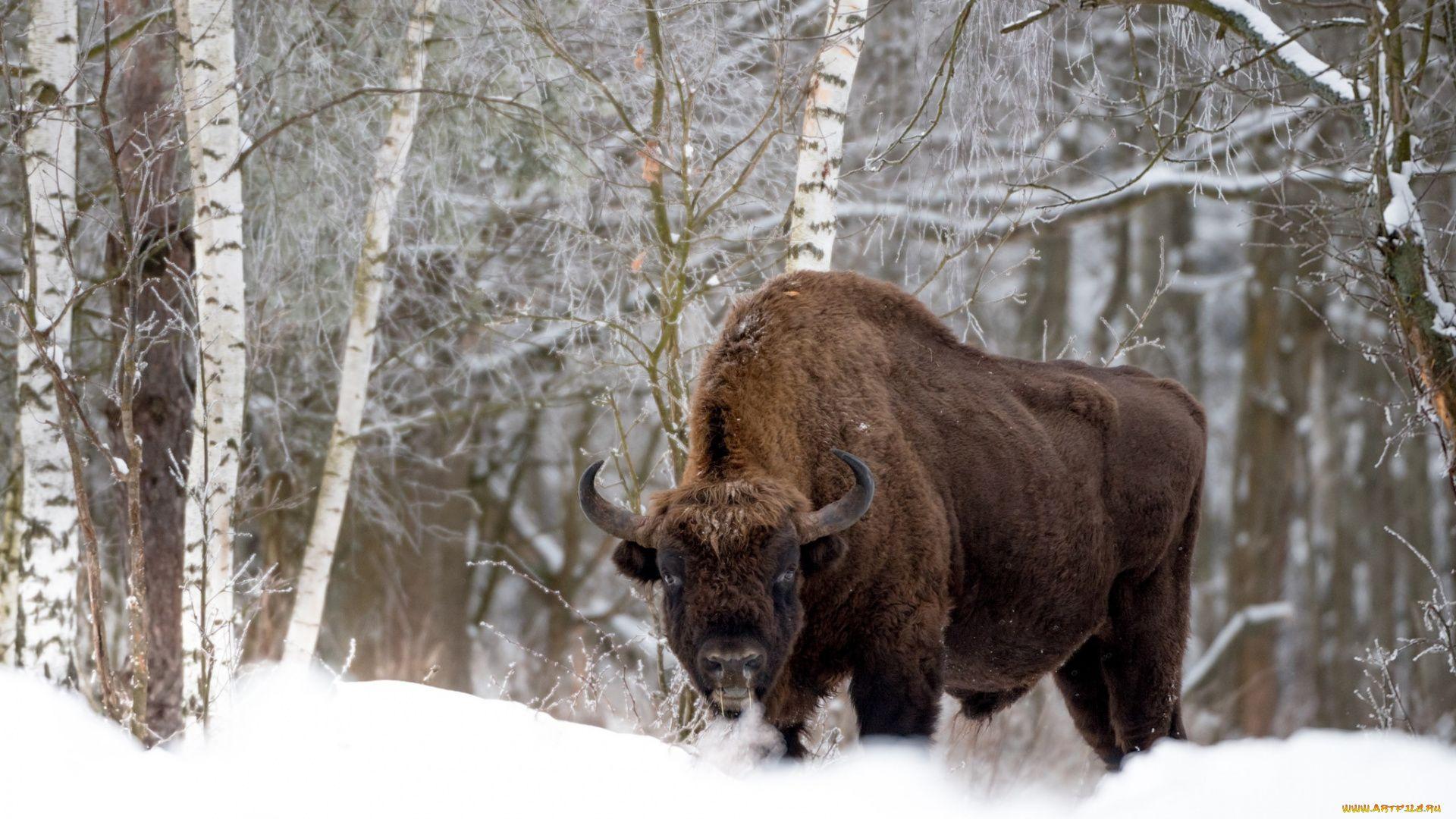 Winter Bison Photo