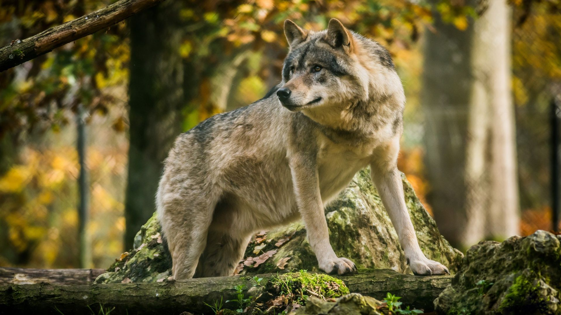 Wolf In The Forest Pictures