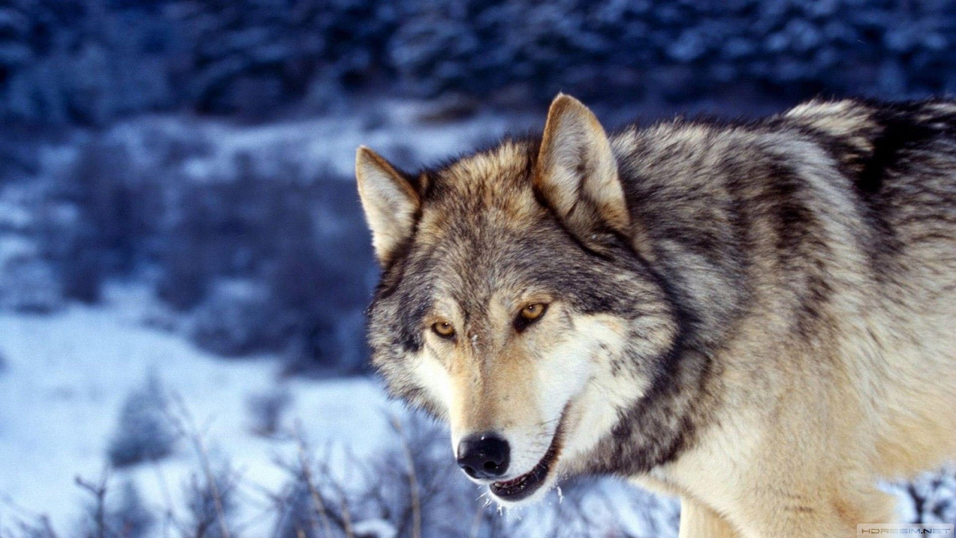 Wolf Pictures Animal