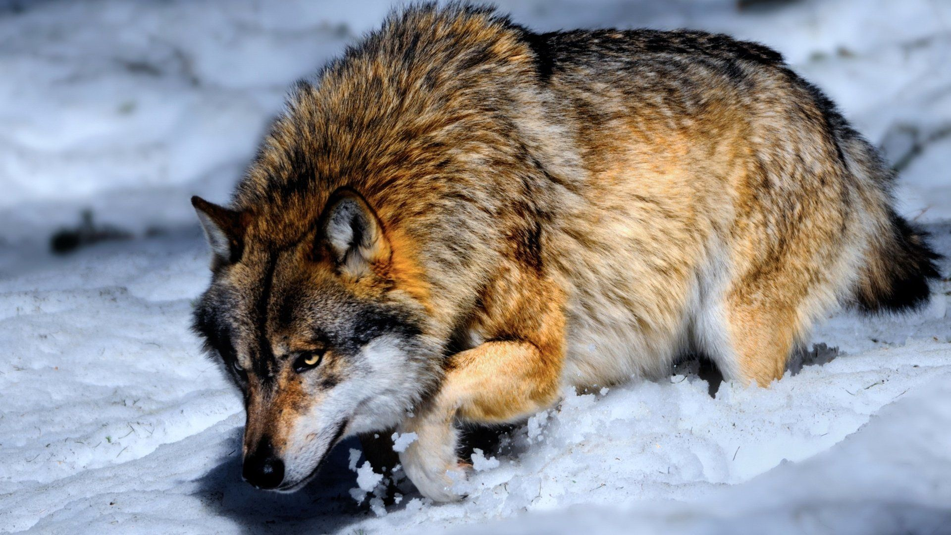Wolf Pictures Pictures