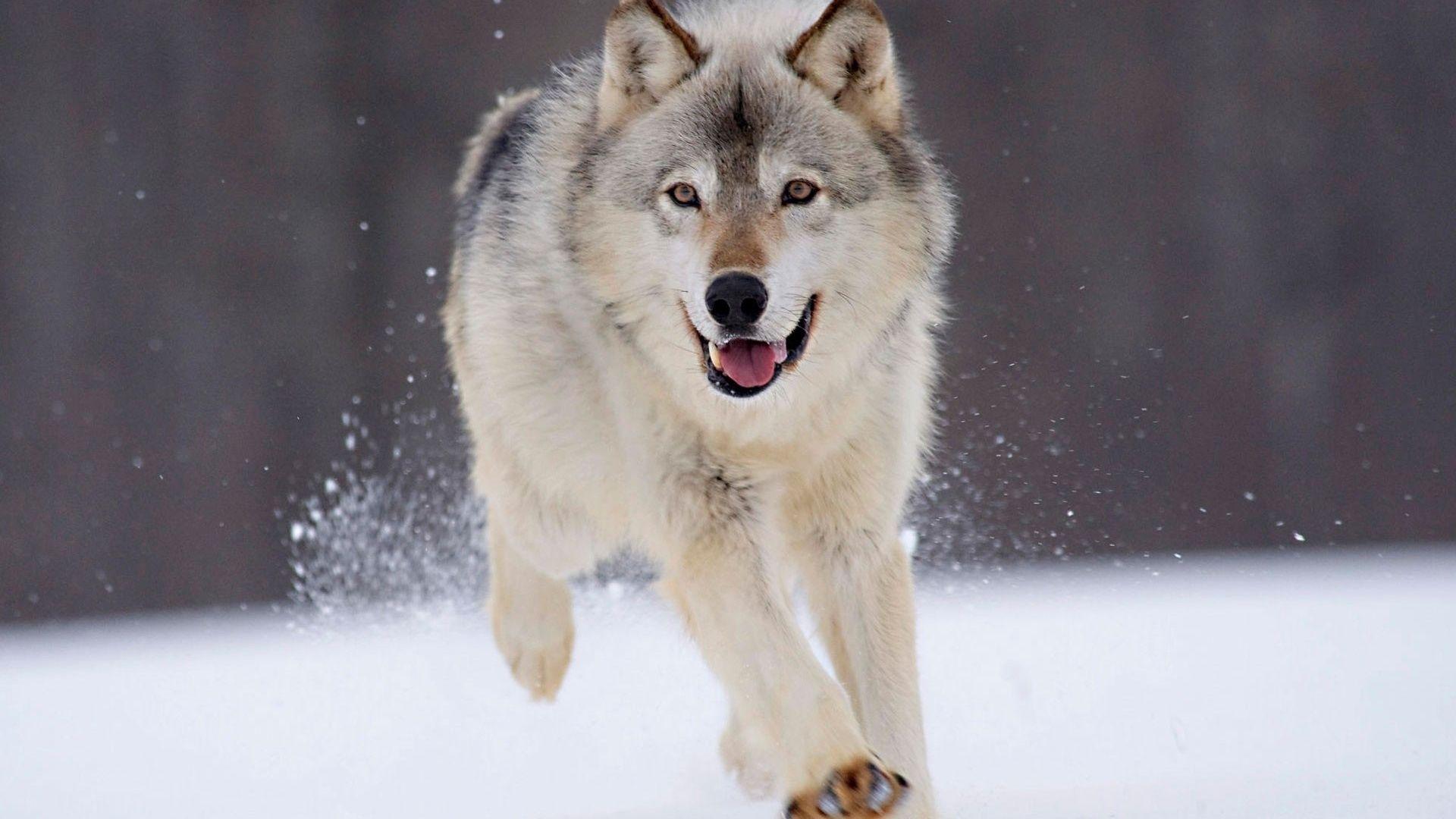Wolf Wallpaper 1920x1080