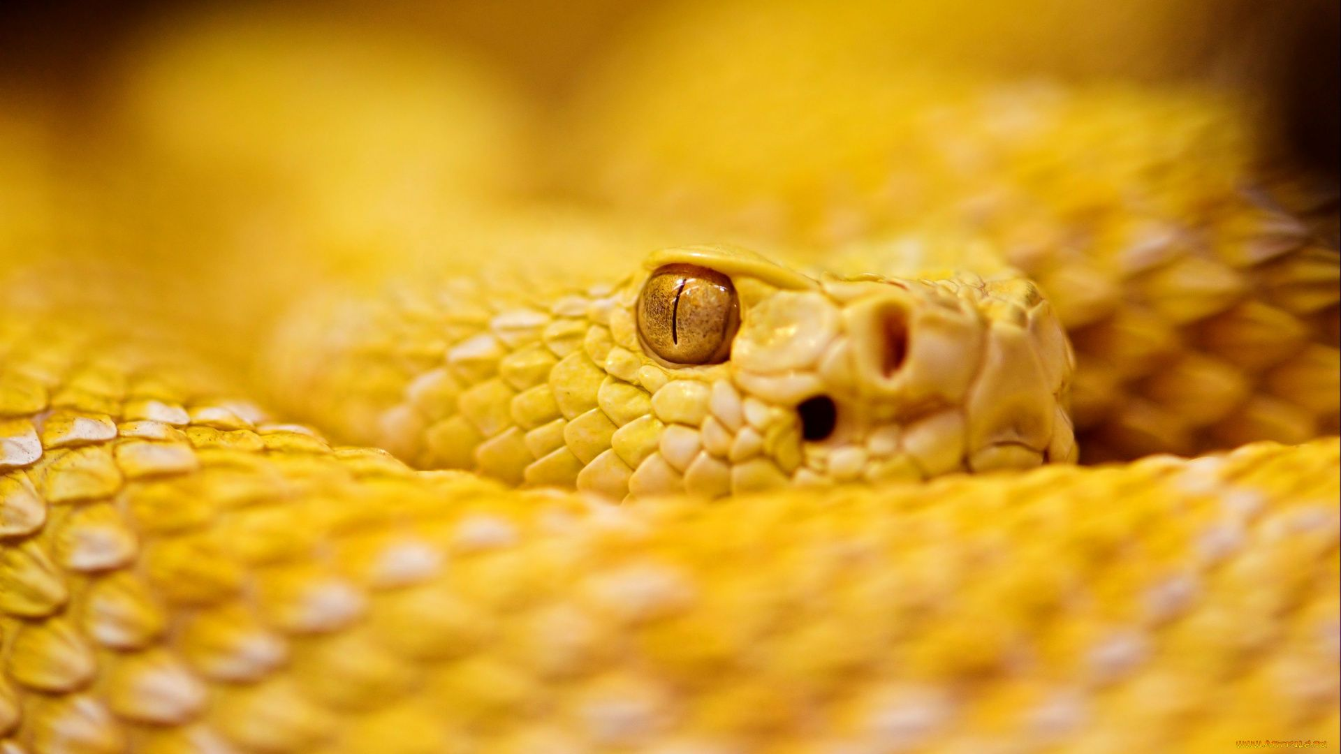 Yellow Snake Pictures