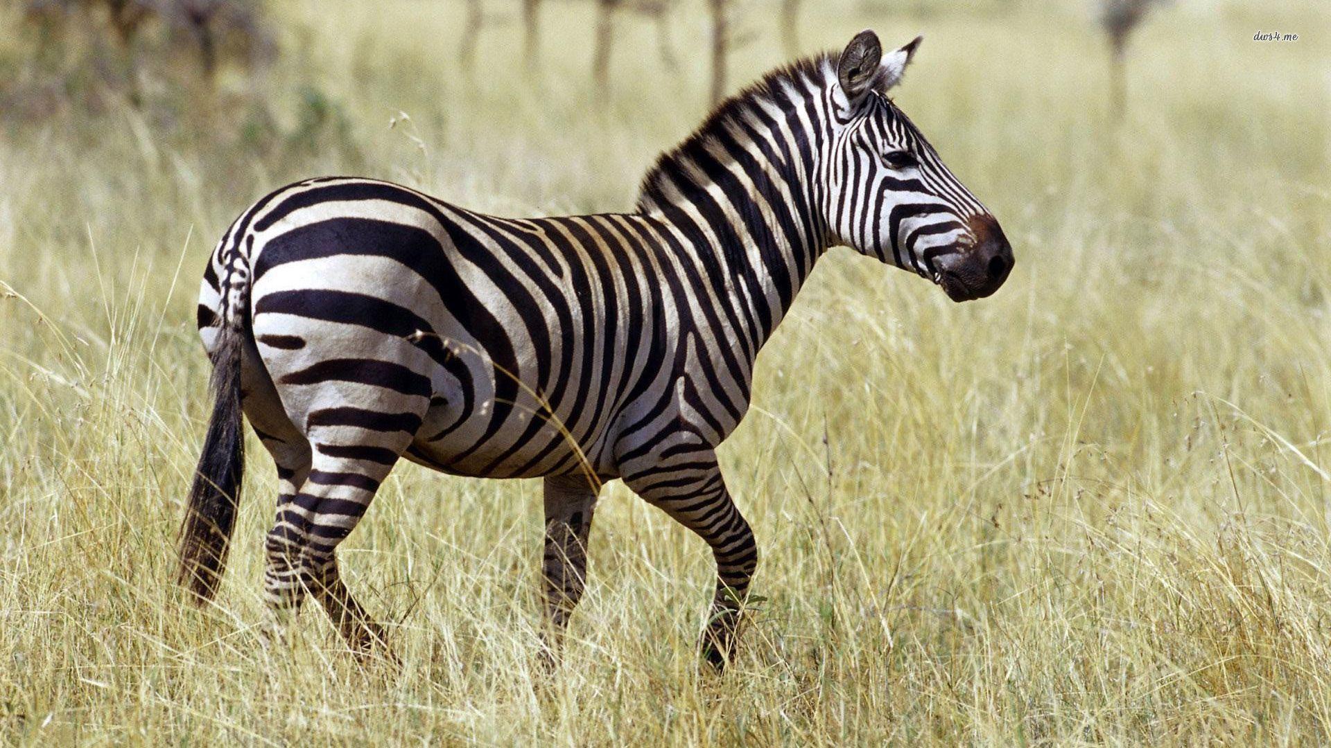Zebras In Savannah Images
