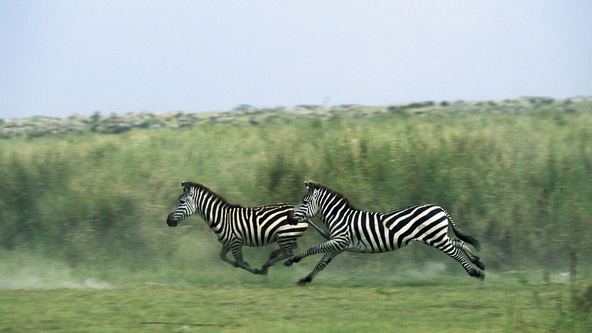 Zebras Running Photo