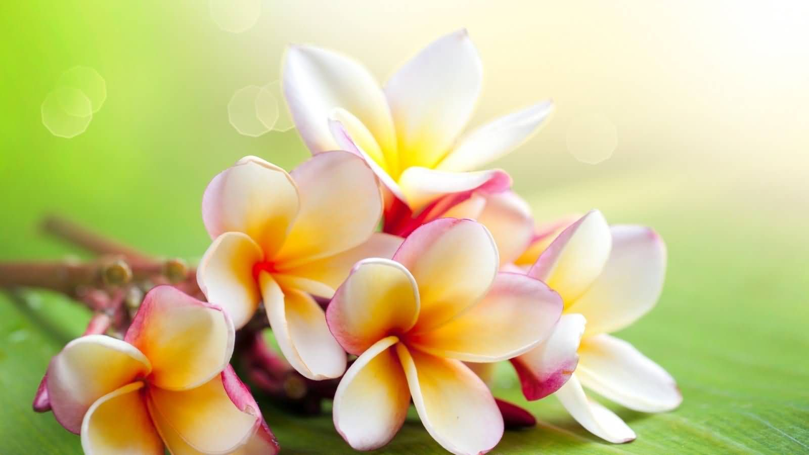 Wallpapers Tropical Flowers