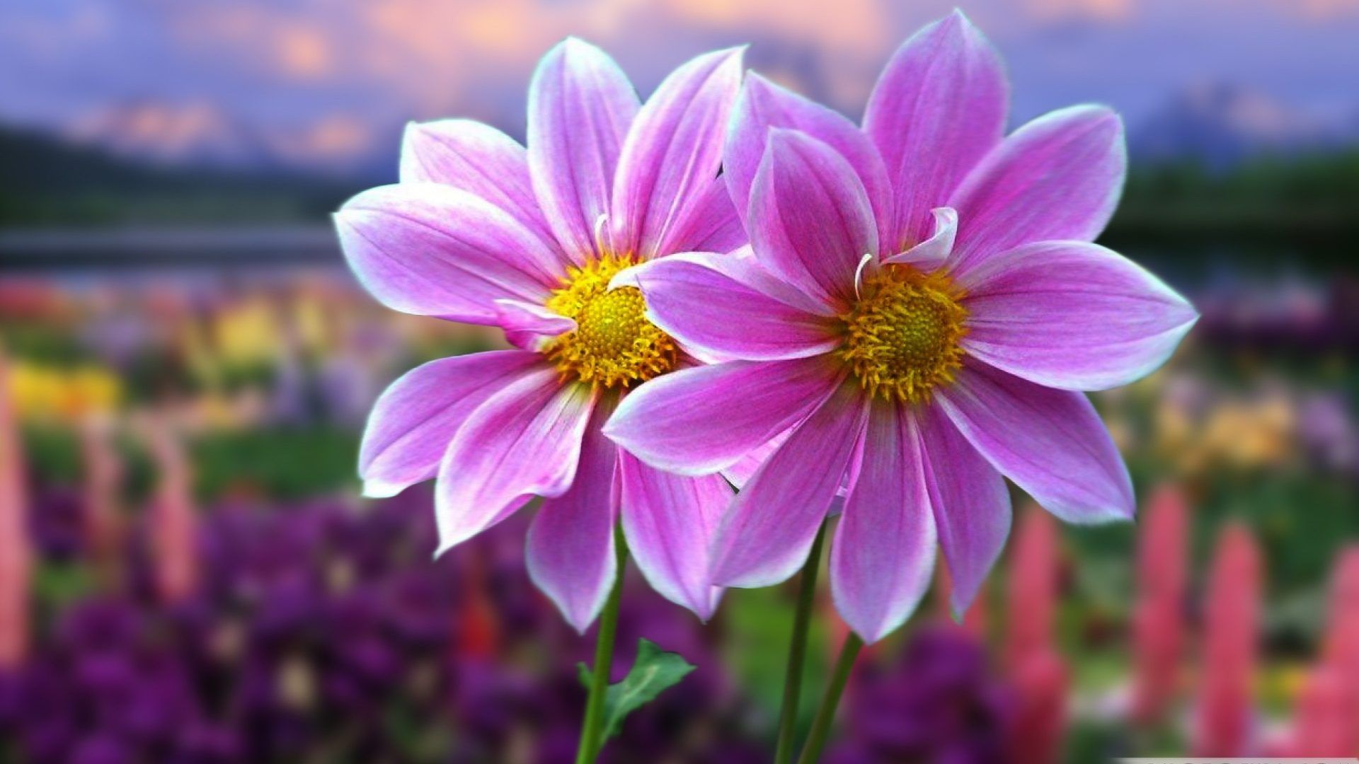 Most Beautiful Flower wallpaper for laptop