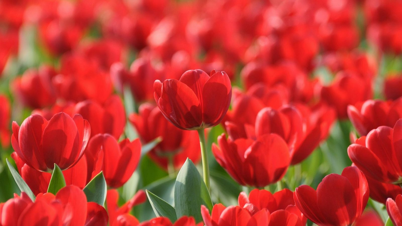 The Wallpapers Of Tulips