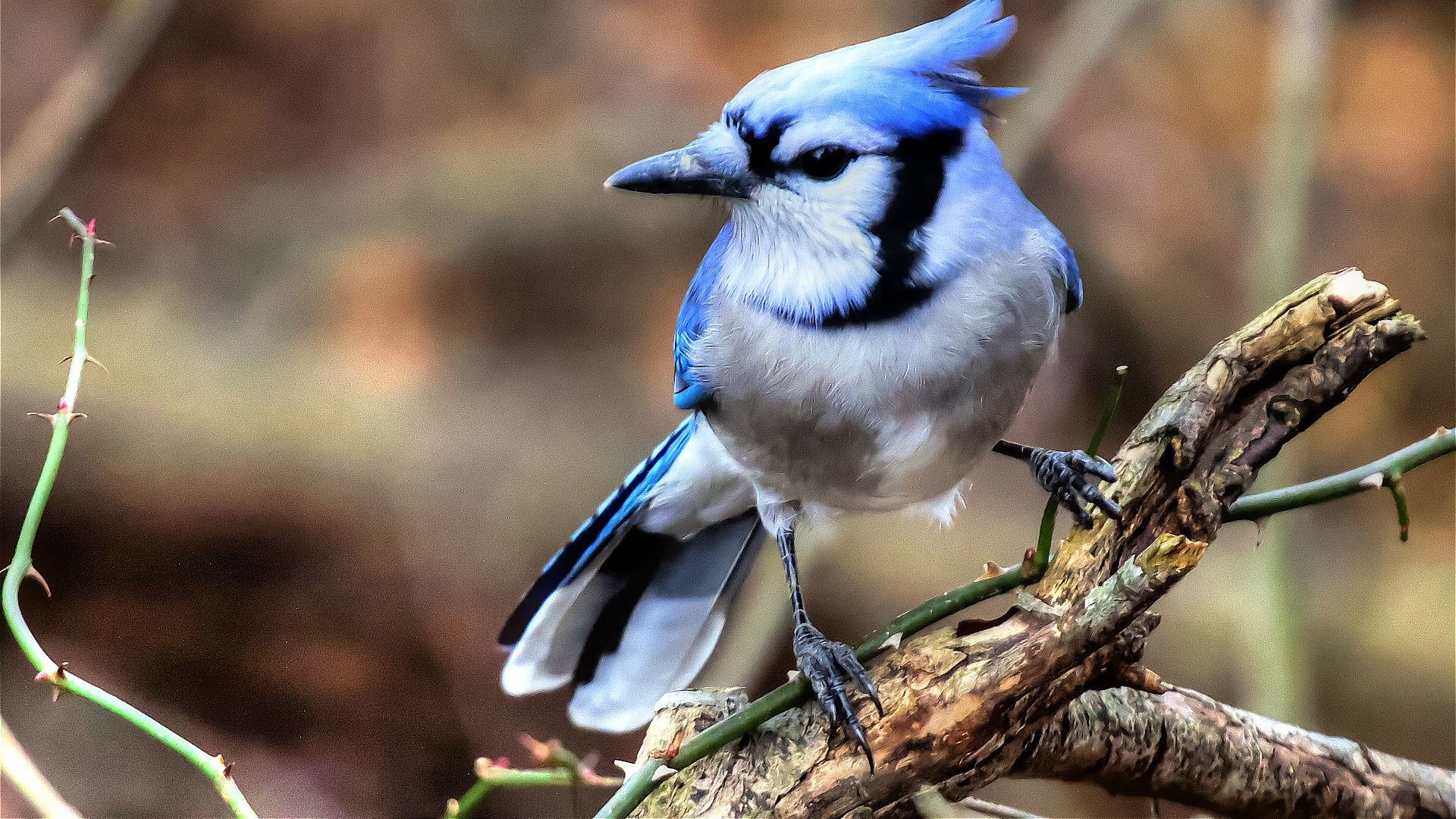 Blue Jays download free wallpapers for pc in hd