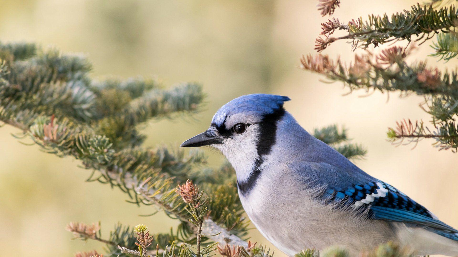 Blue Jays Image