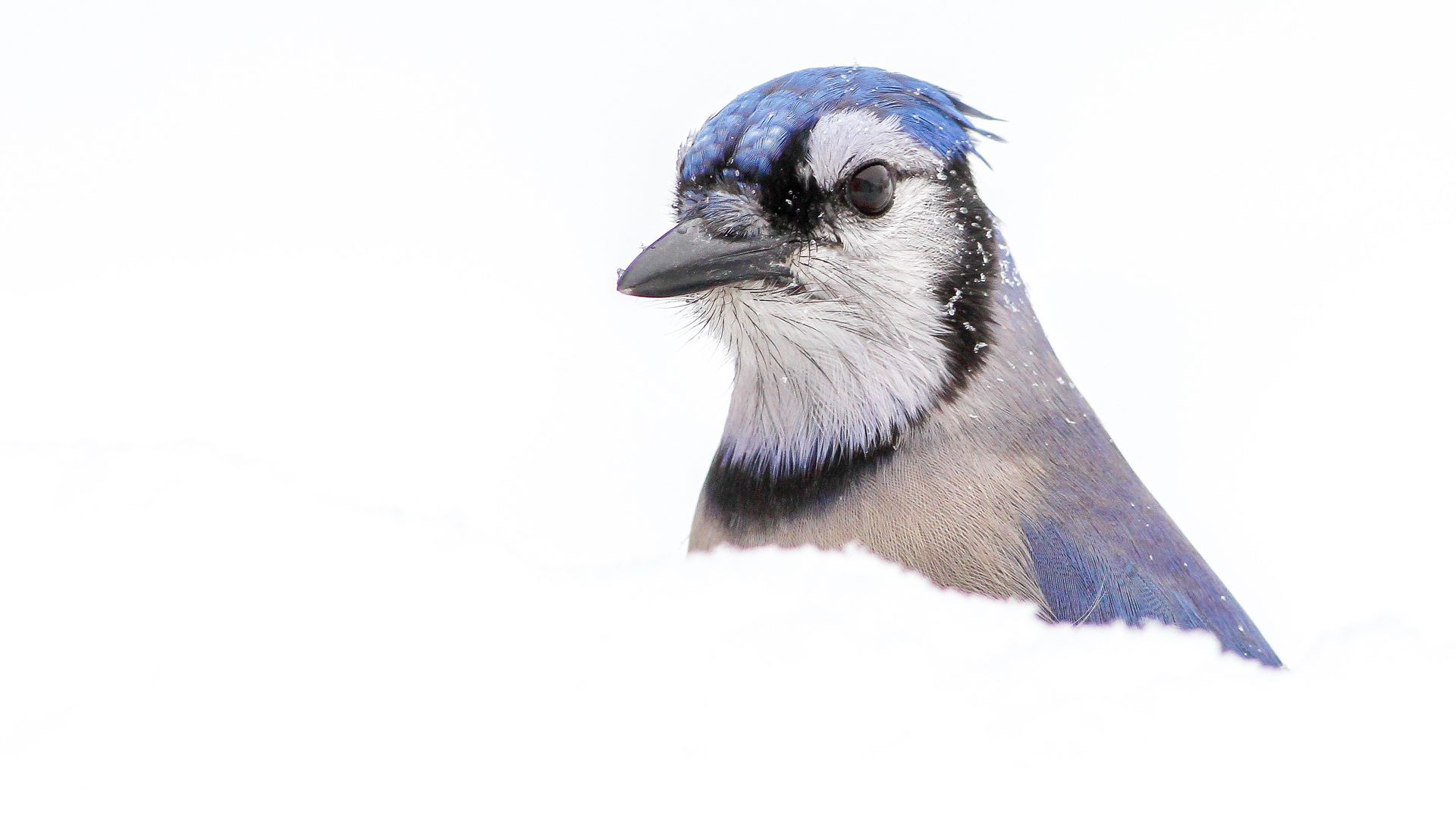 Blue Jays Free Wallpaper and Background