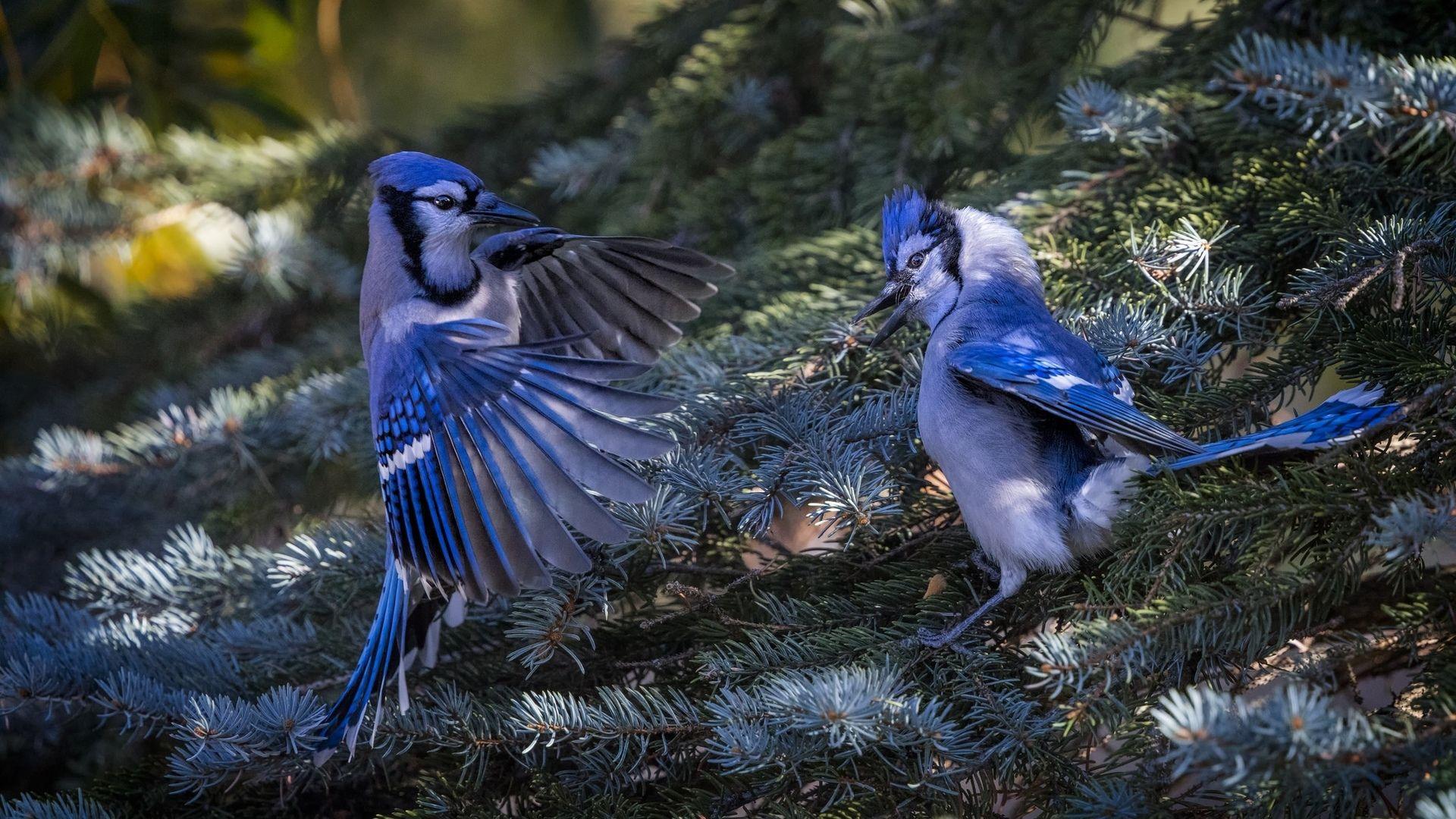Blue Jays hd wallpaper 1080