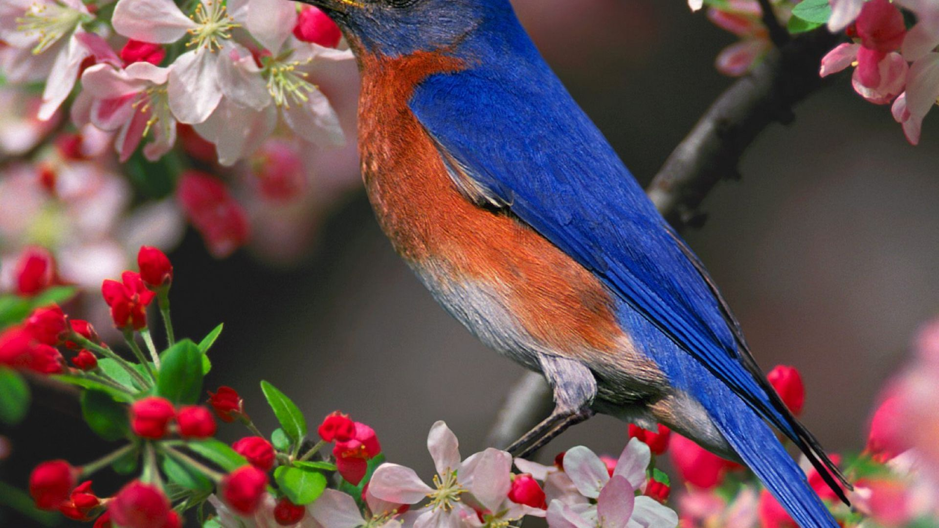 Blue Jays PC Wallpaper HD