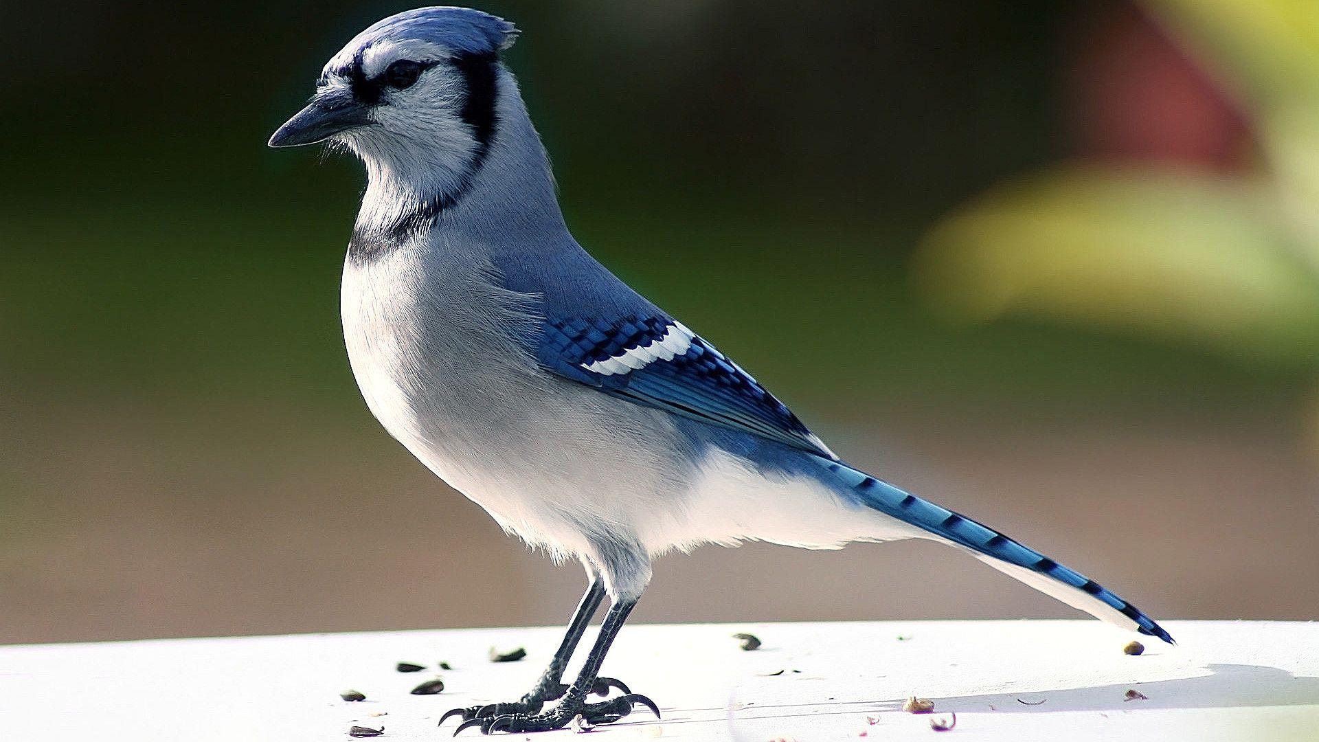 Blue Jays wallpaper image hd