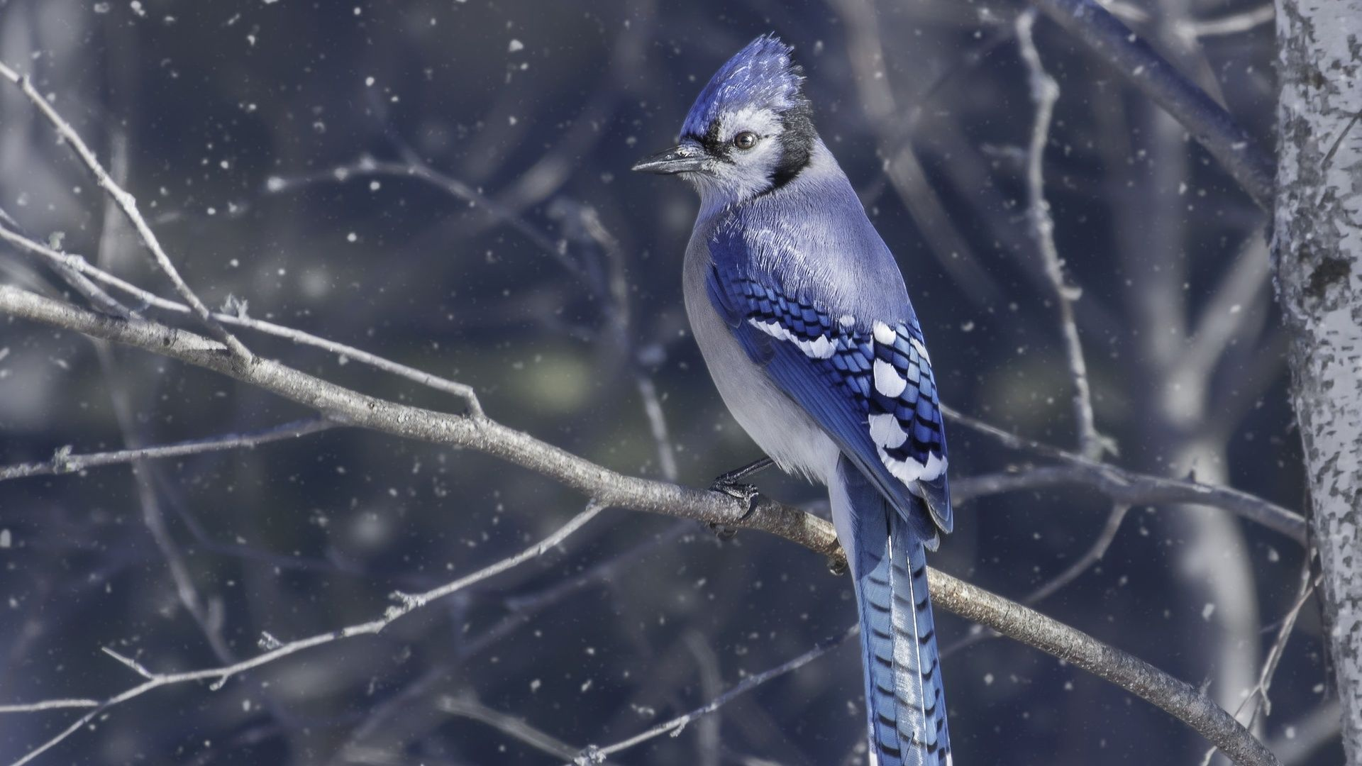 Blue Jays Wallpaper and Background