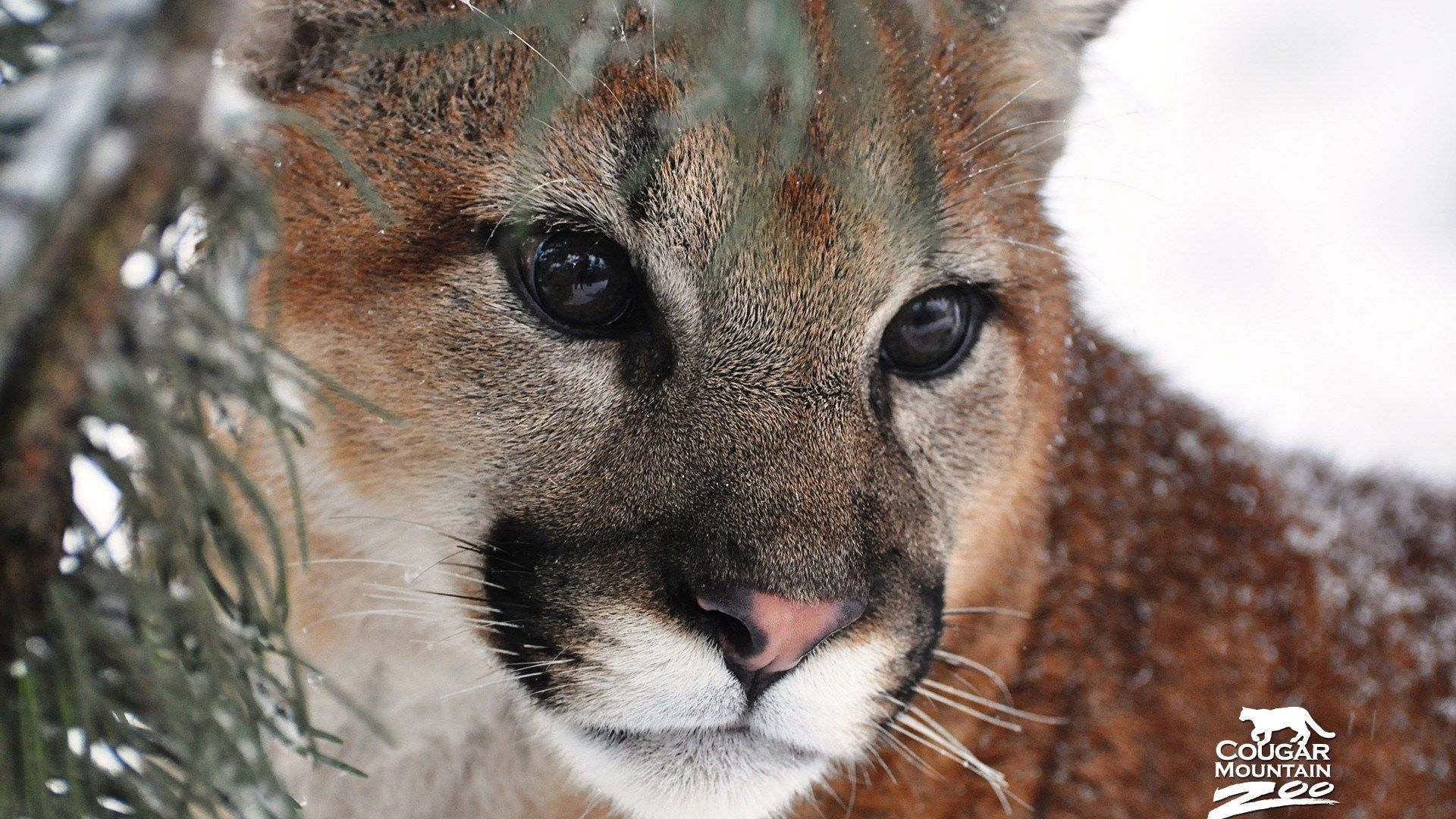 Cougar Hd 1080p picture