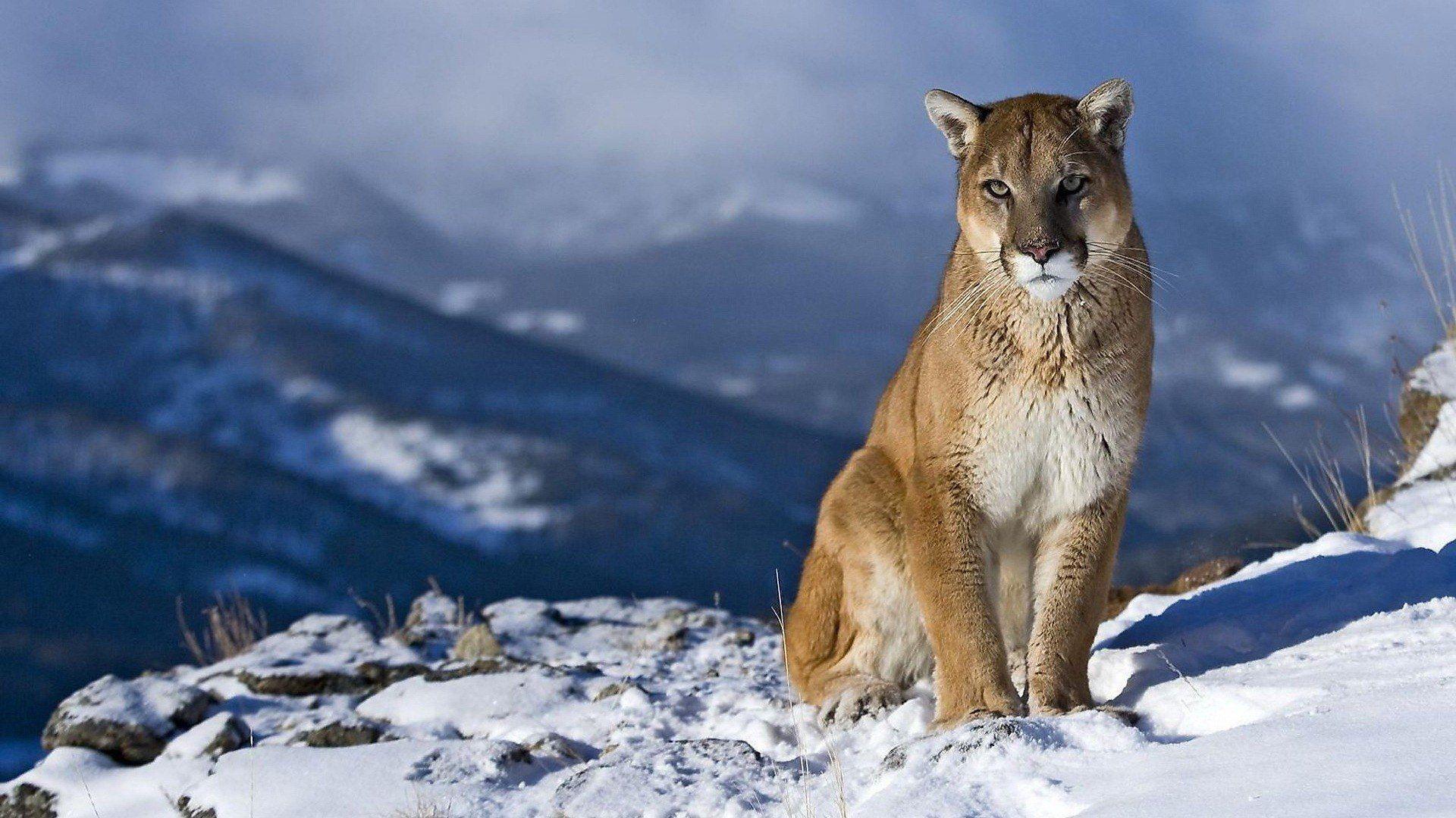 Cougar Hd desktop wallpaper