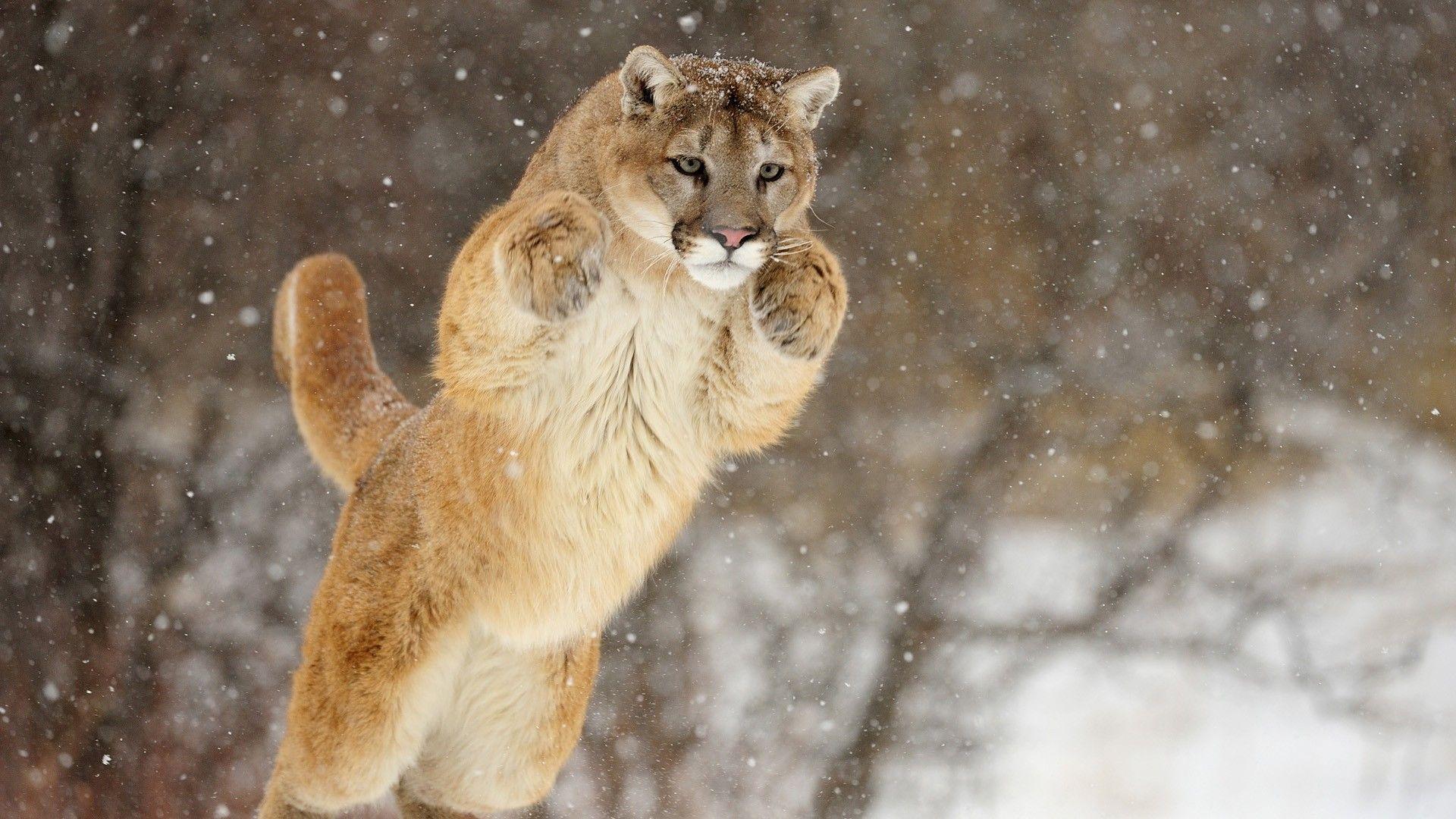 Cougar Hd nice wallpaper