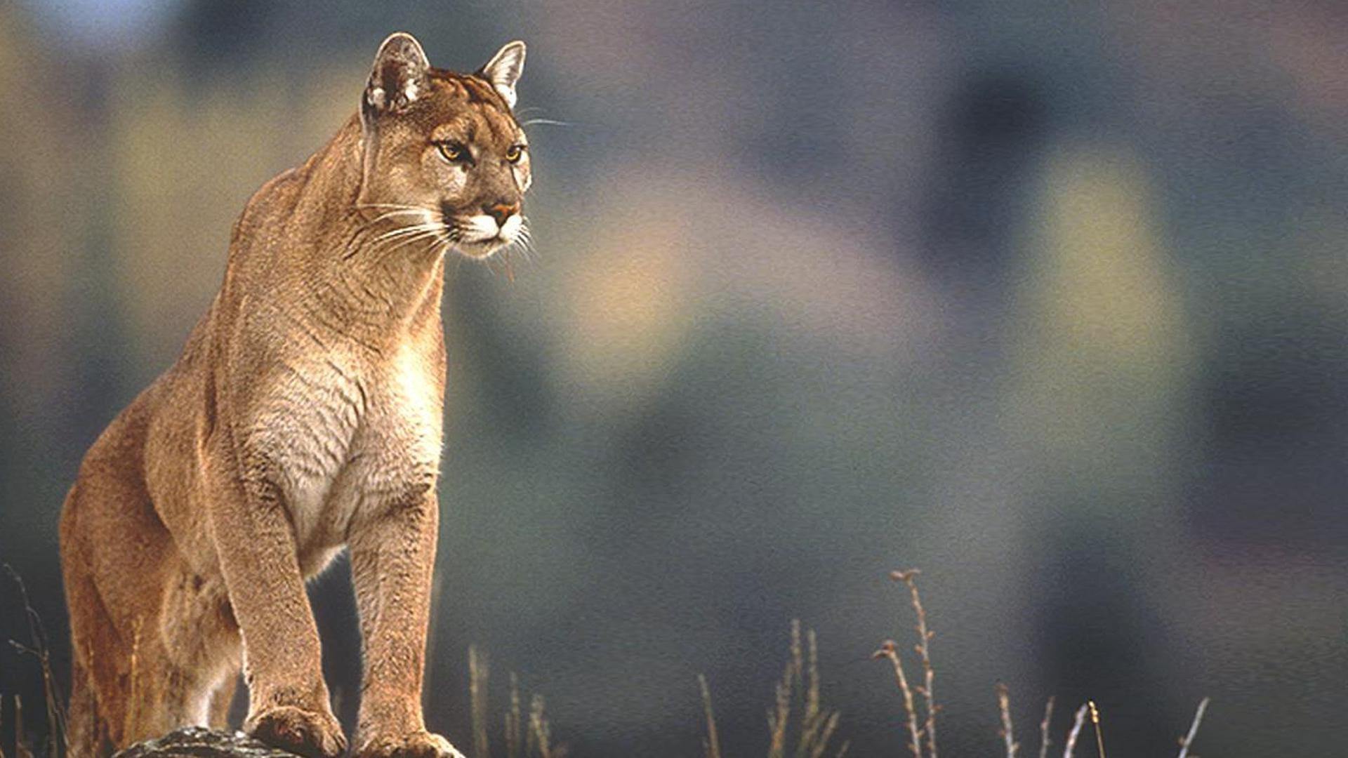 Cougar Hd wallpaper pc