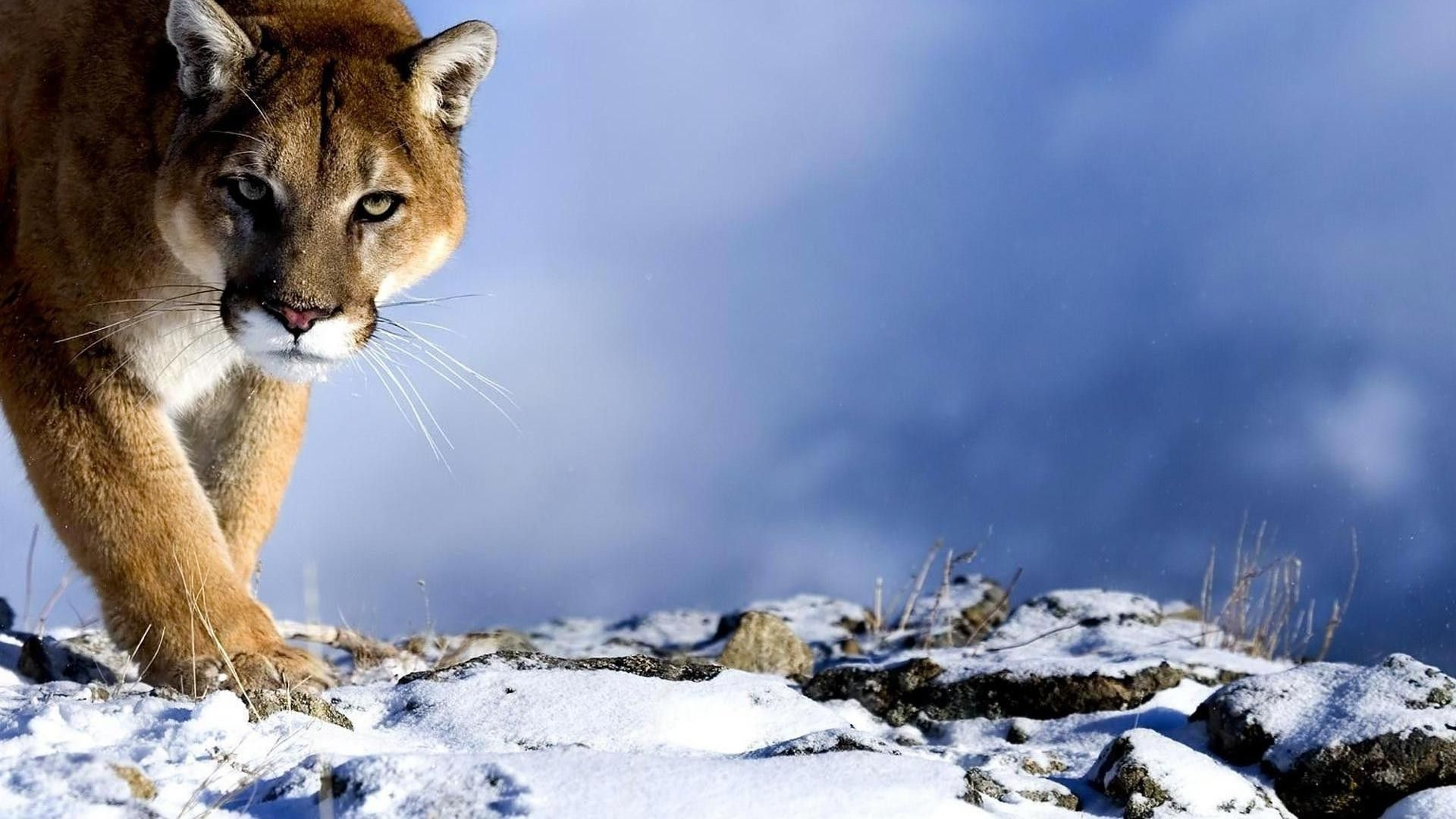 Cougar Hd picture free download