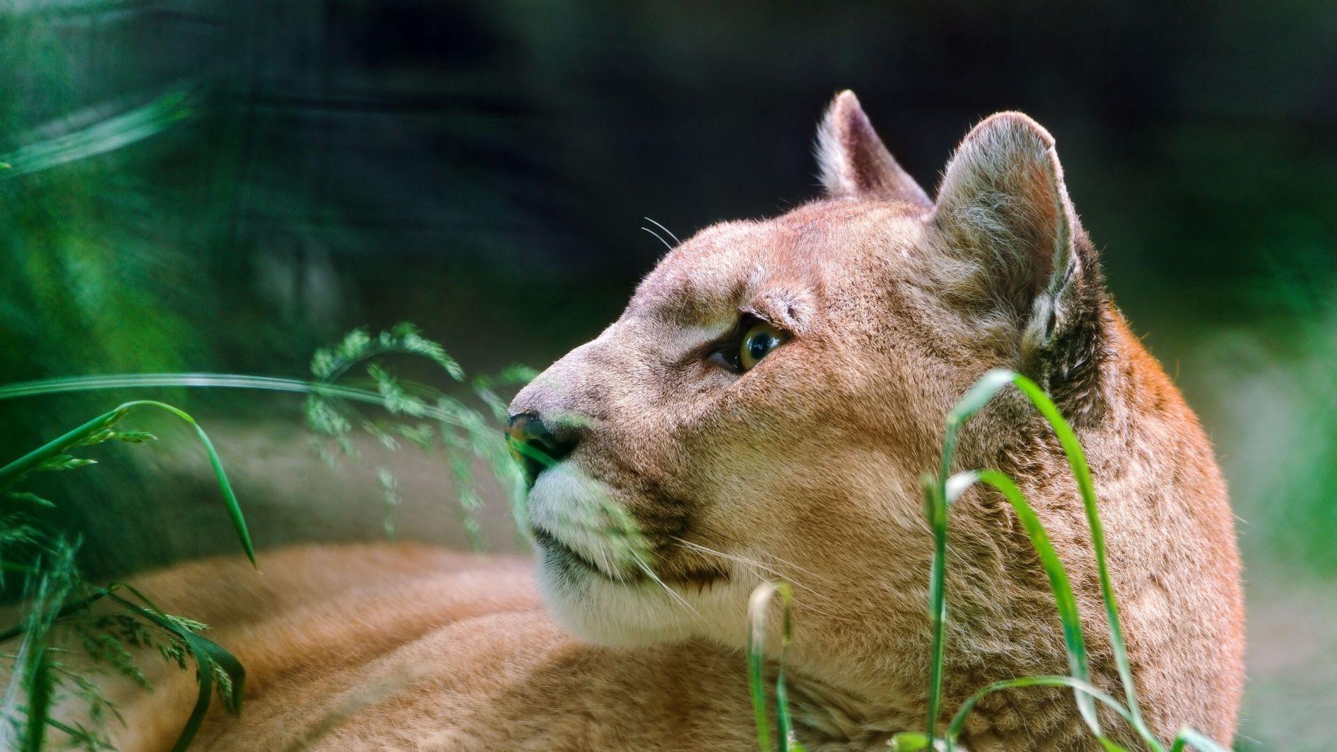 Cougar Hd hd
