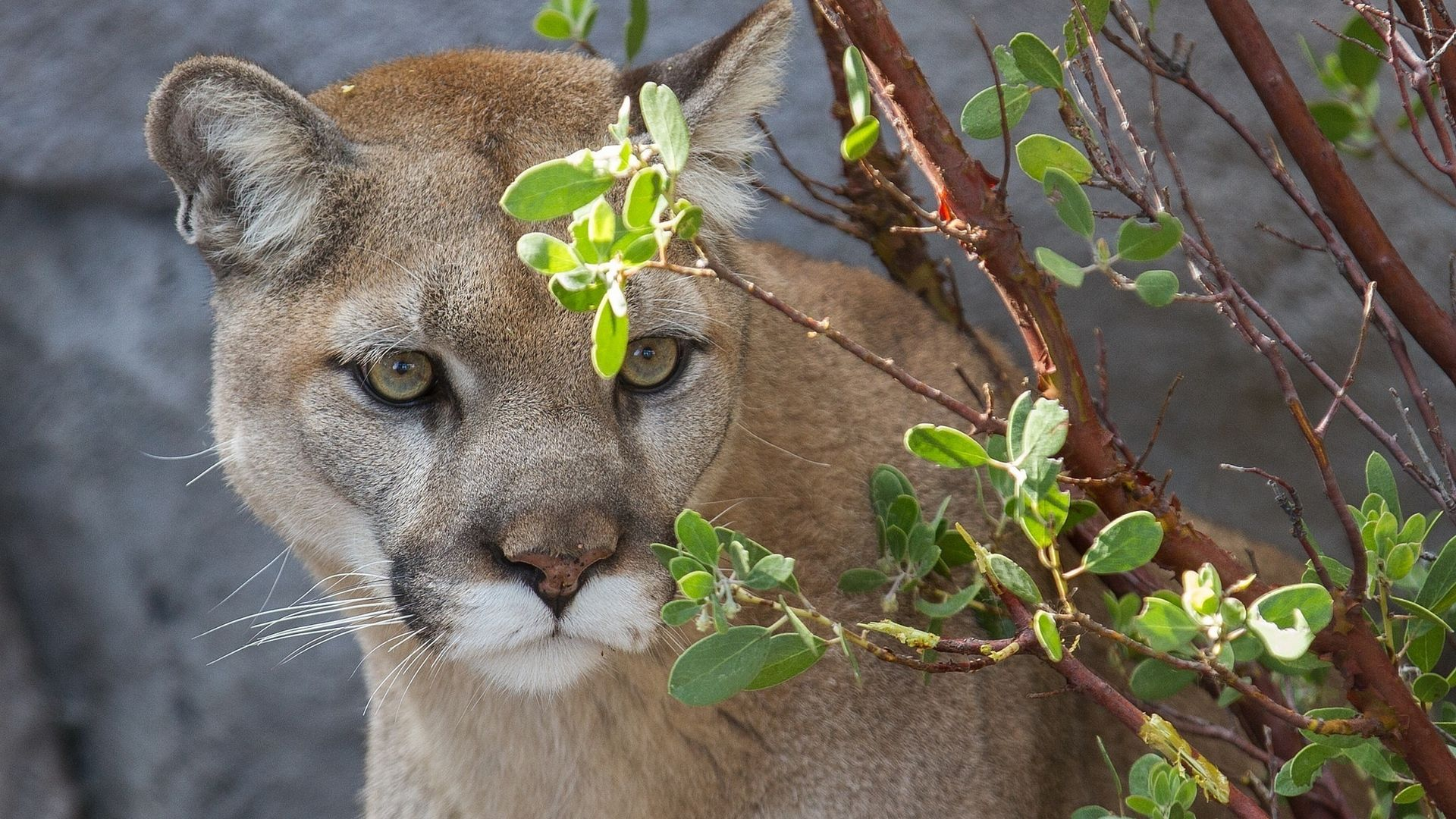 Cougar Hd background picture hd