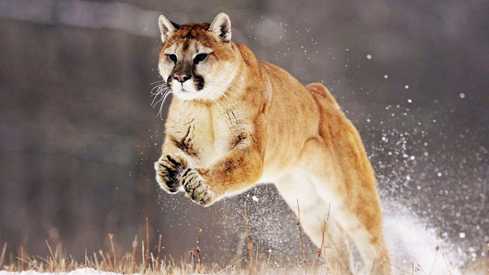 Cougar Hd wallpaper