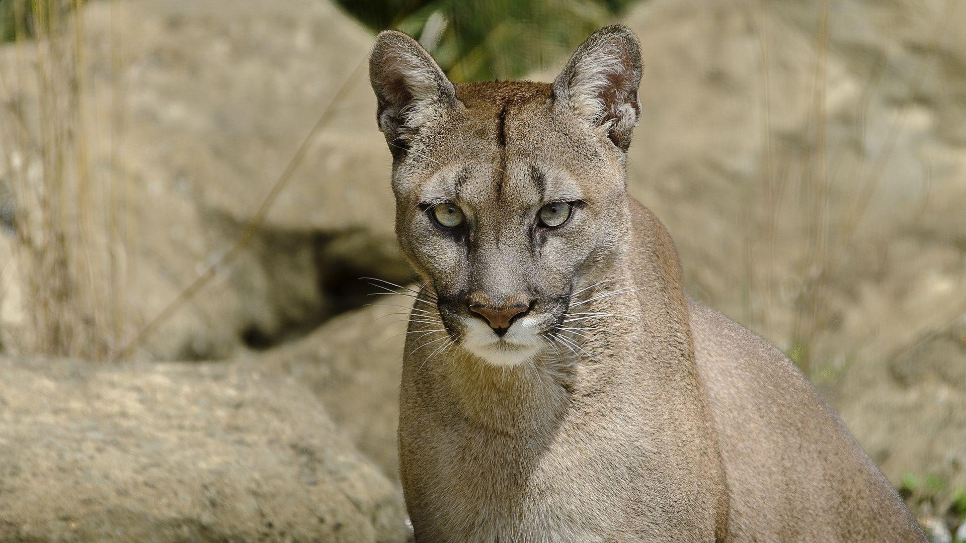Cougar Hd background hd