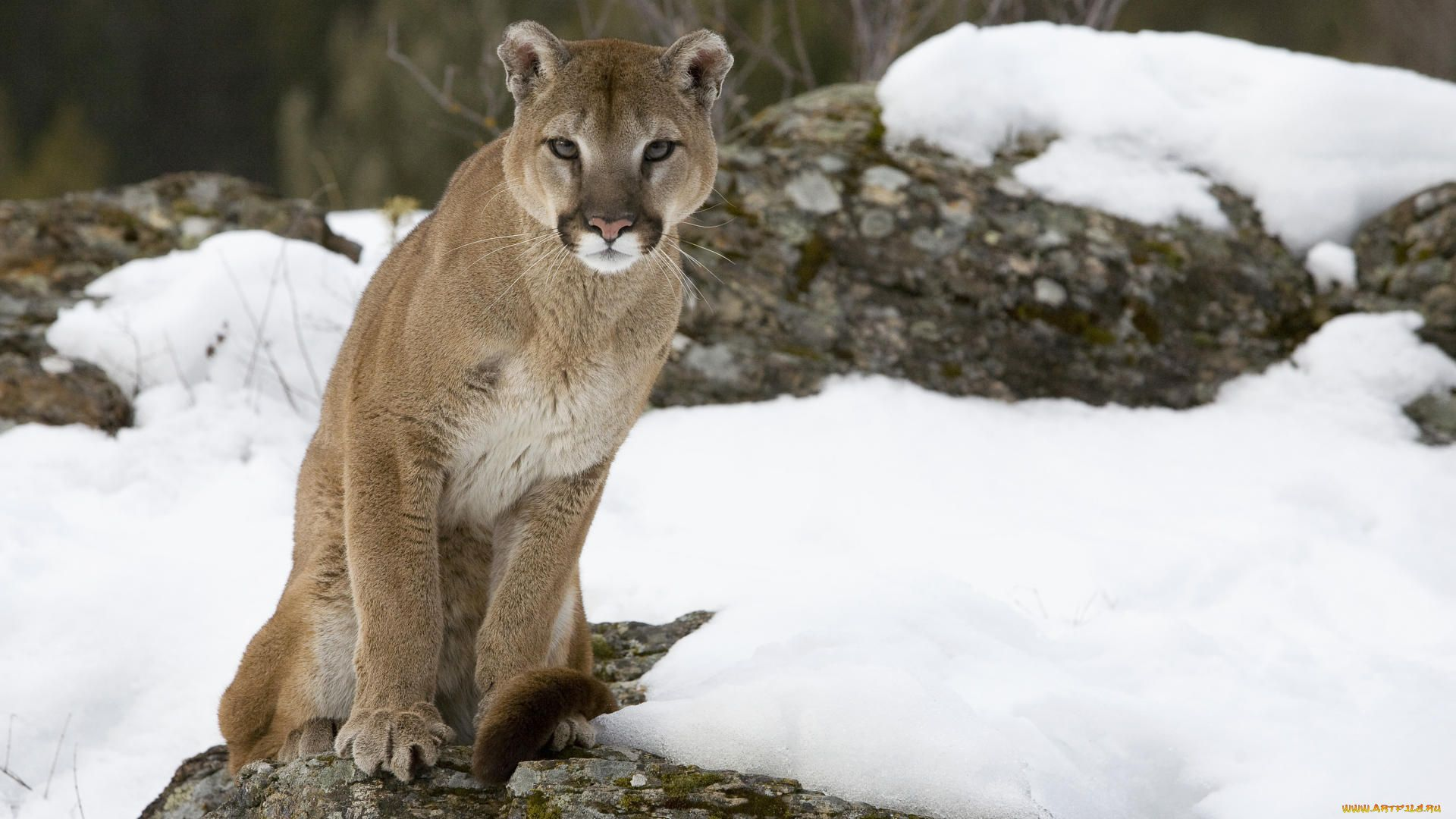 Cougar Hd 1080p wallpaper