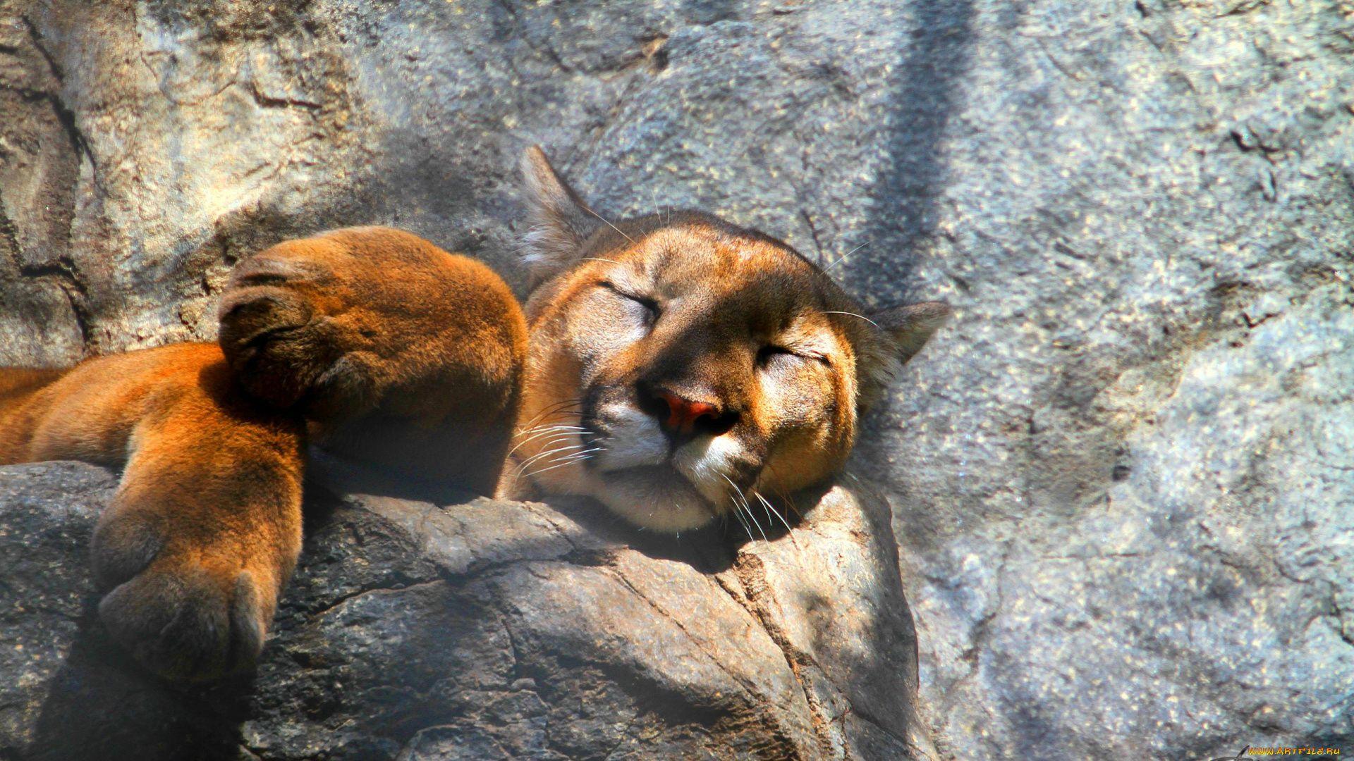 Cougar Hd full hd wallpaper download