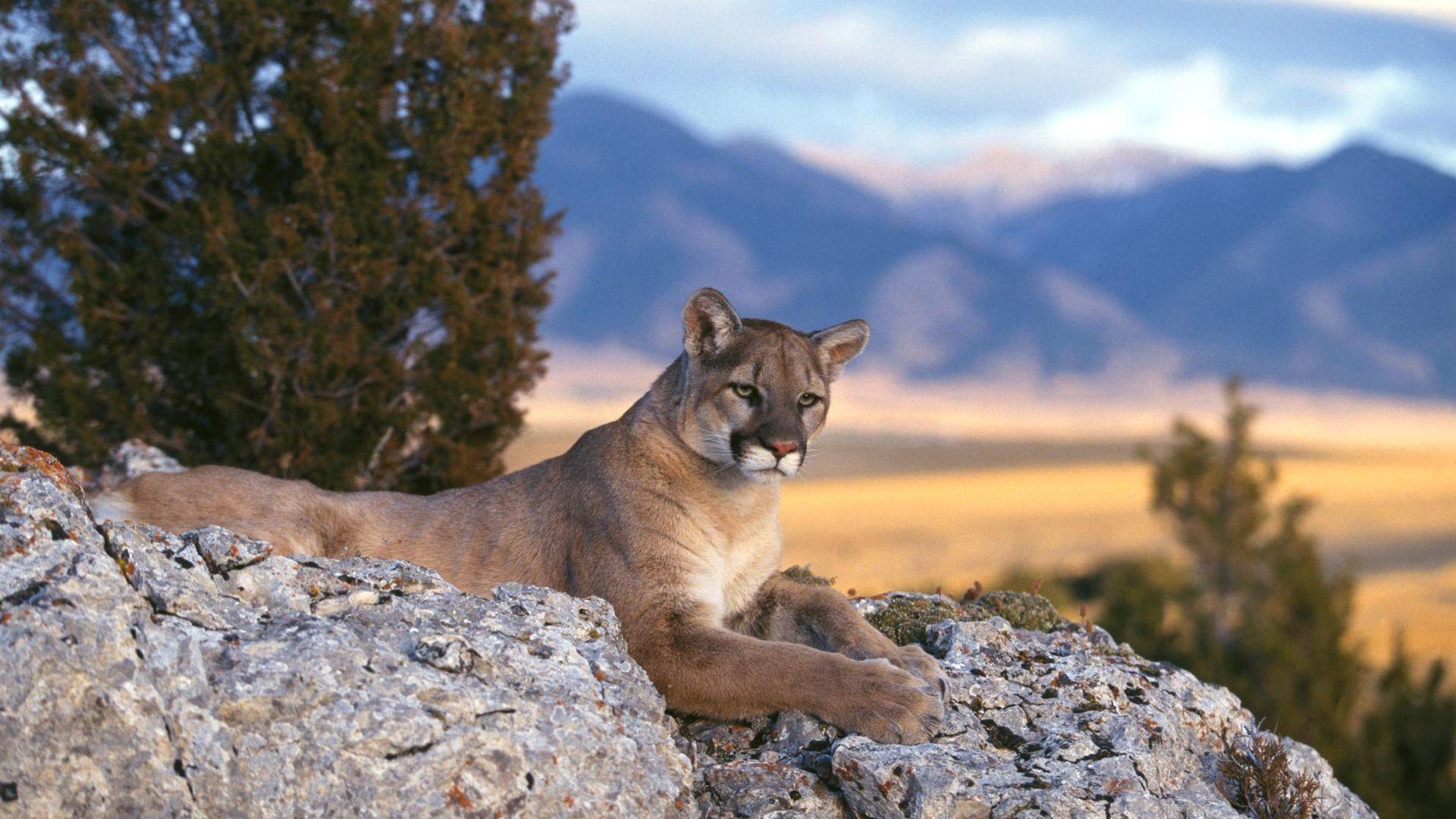 Cougar Hd pics