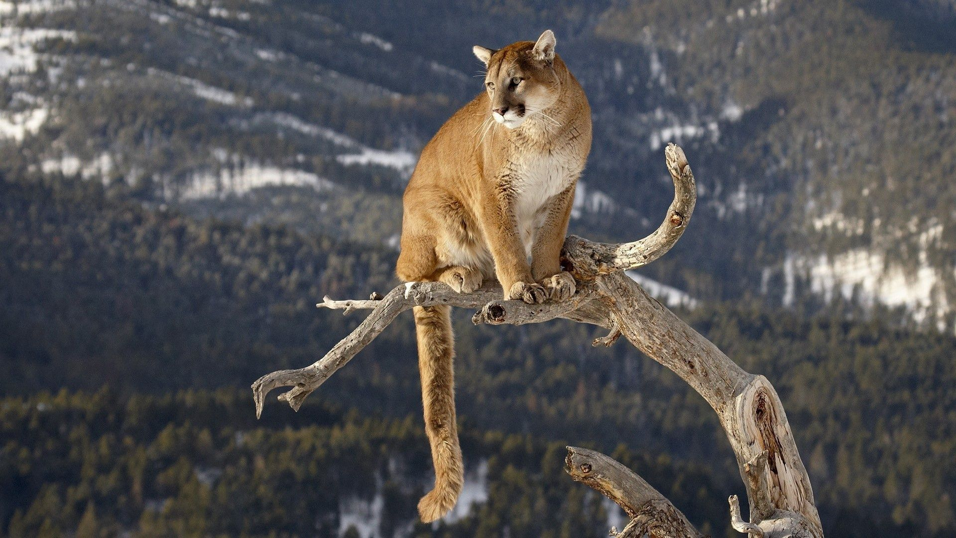 Cougar Hd 1080p background