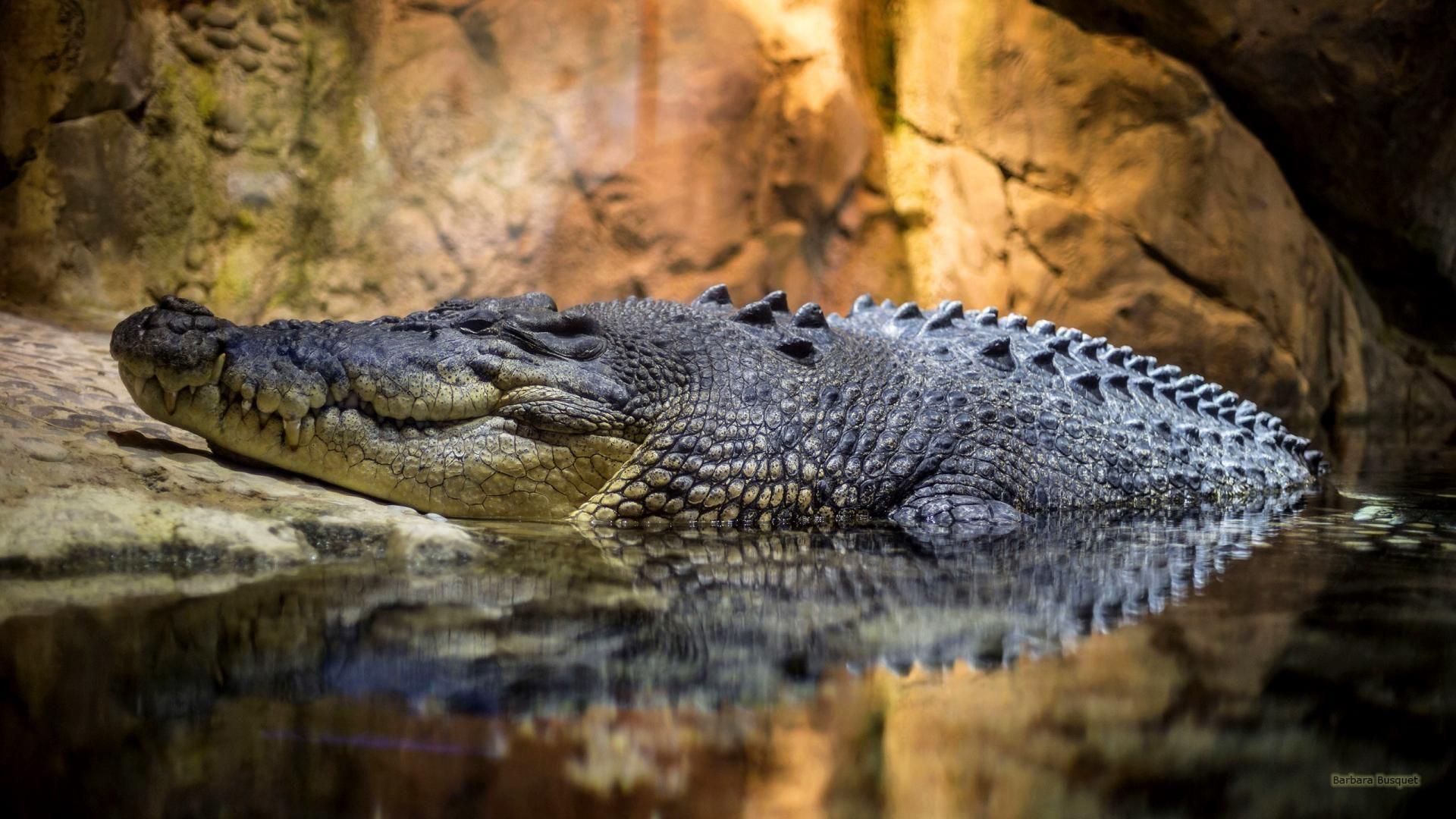 Crocodile Cool Wallpaper