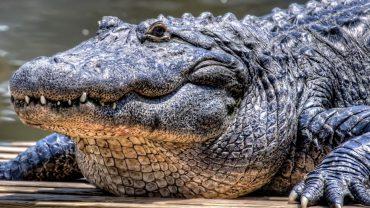 Crocodile Download Wallpaper