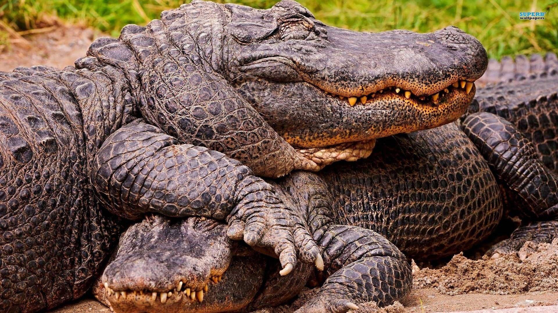 Crocodile Pic