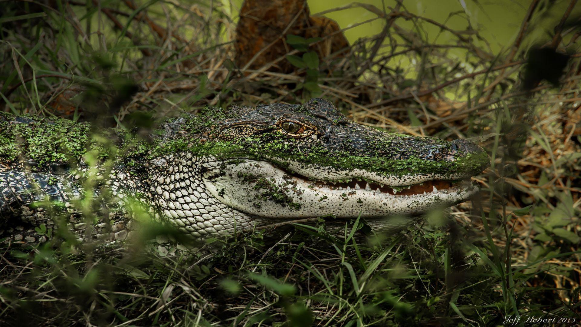 Crocodile wallpaper photo full hd