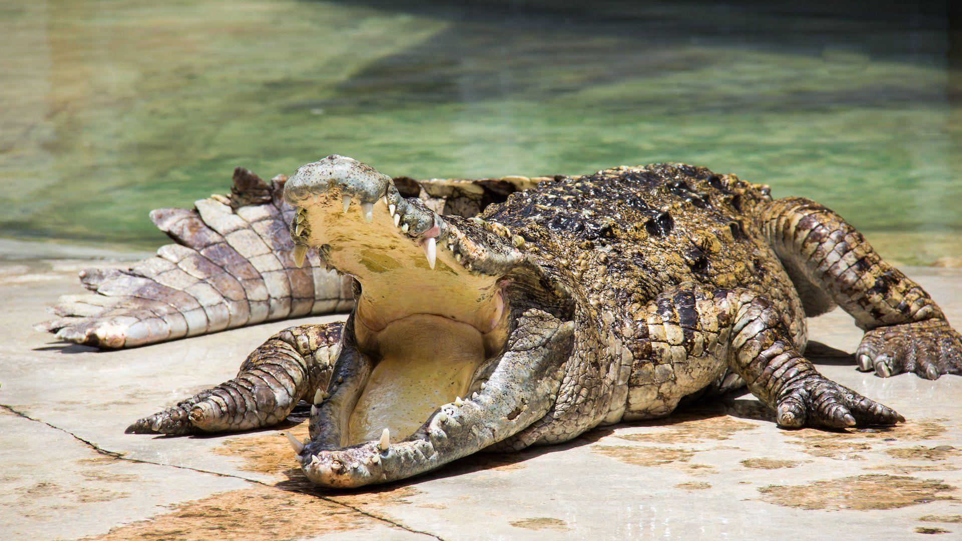 Crocodile new wallpaper